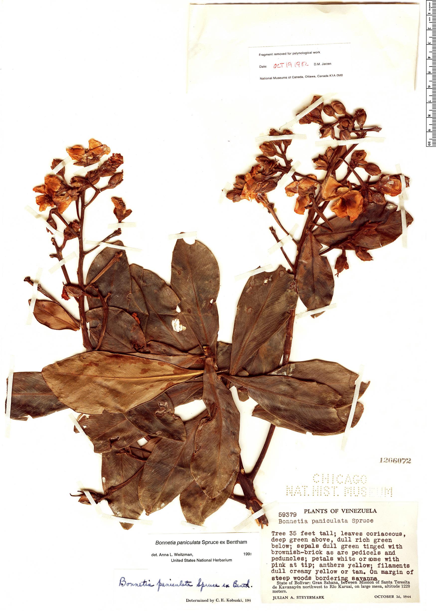 Specimen: Bonnetia paniculata