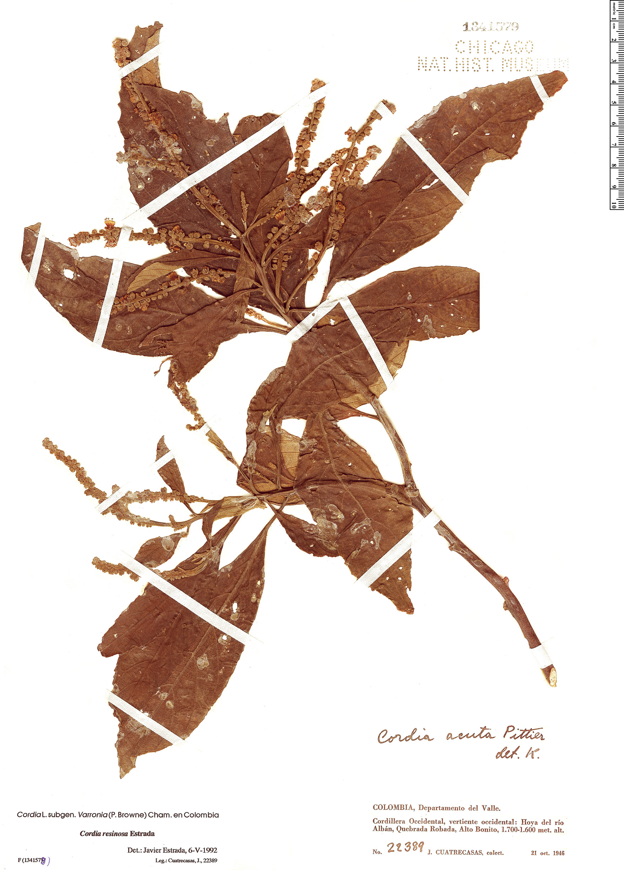 Specimen: Cordia resinosa