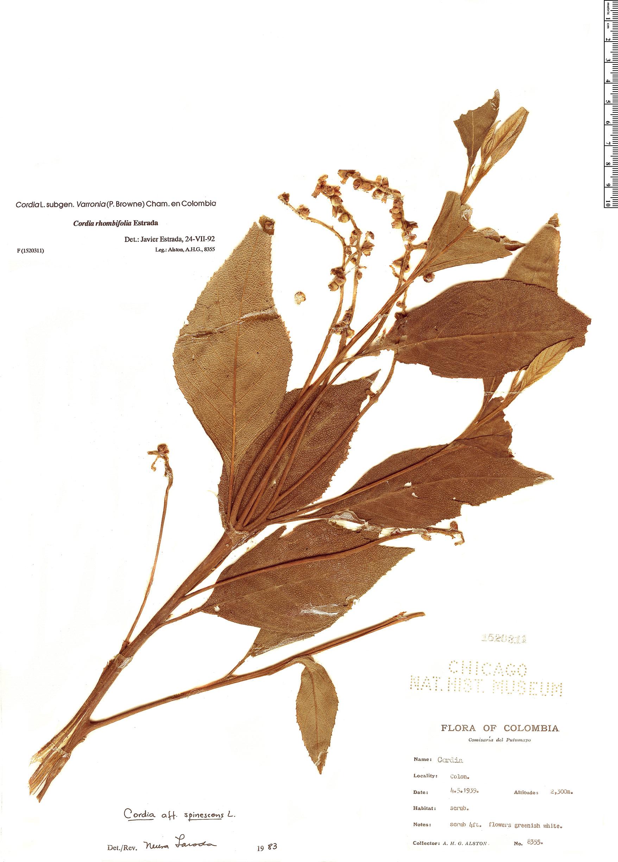 Specimen: Cordia rhombifolia