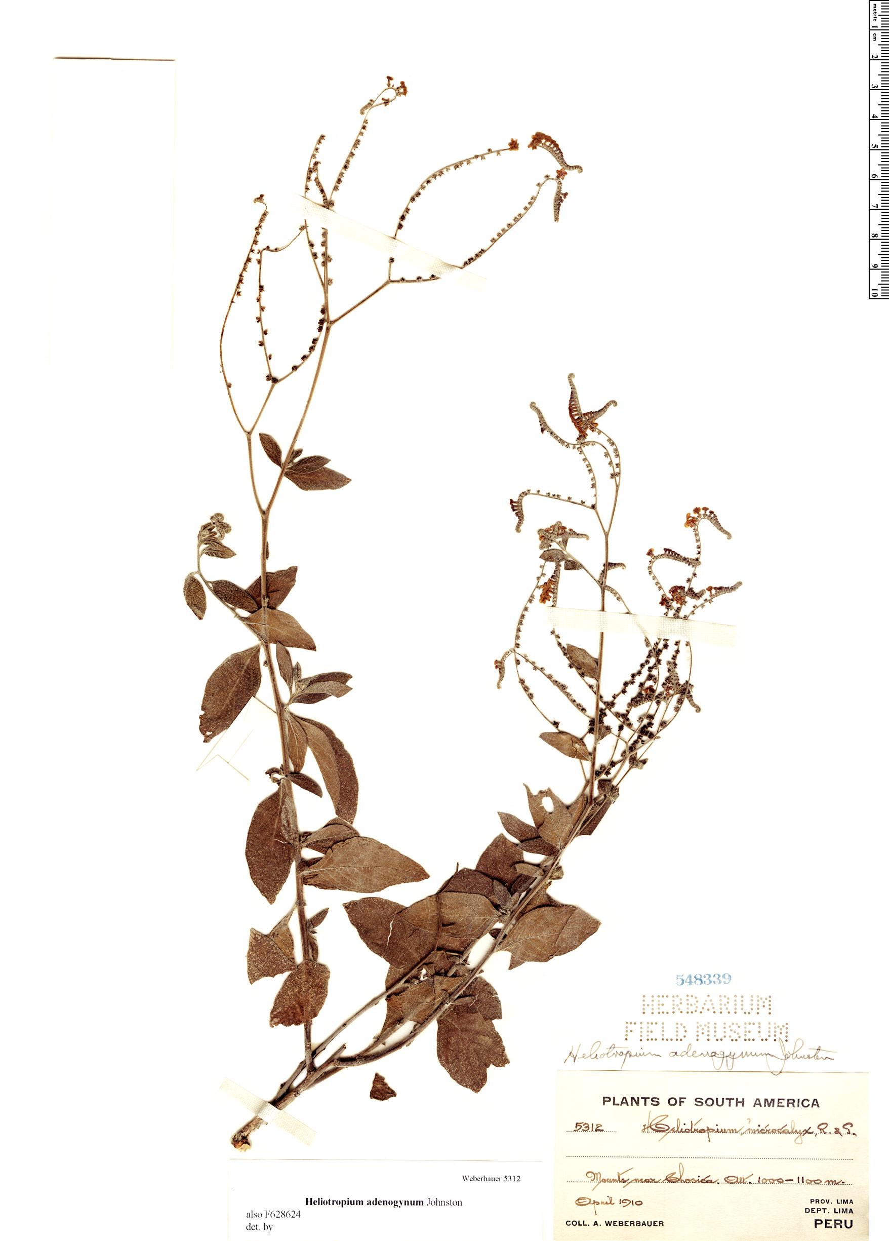 Specimen: Heliotropium adenogynum