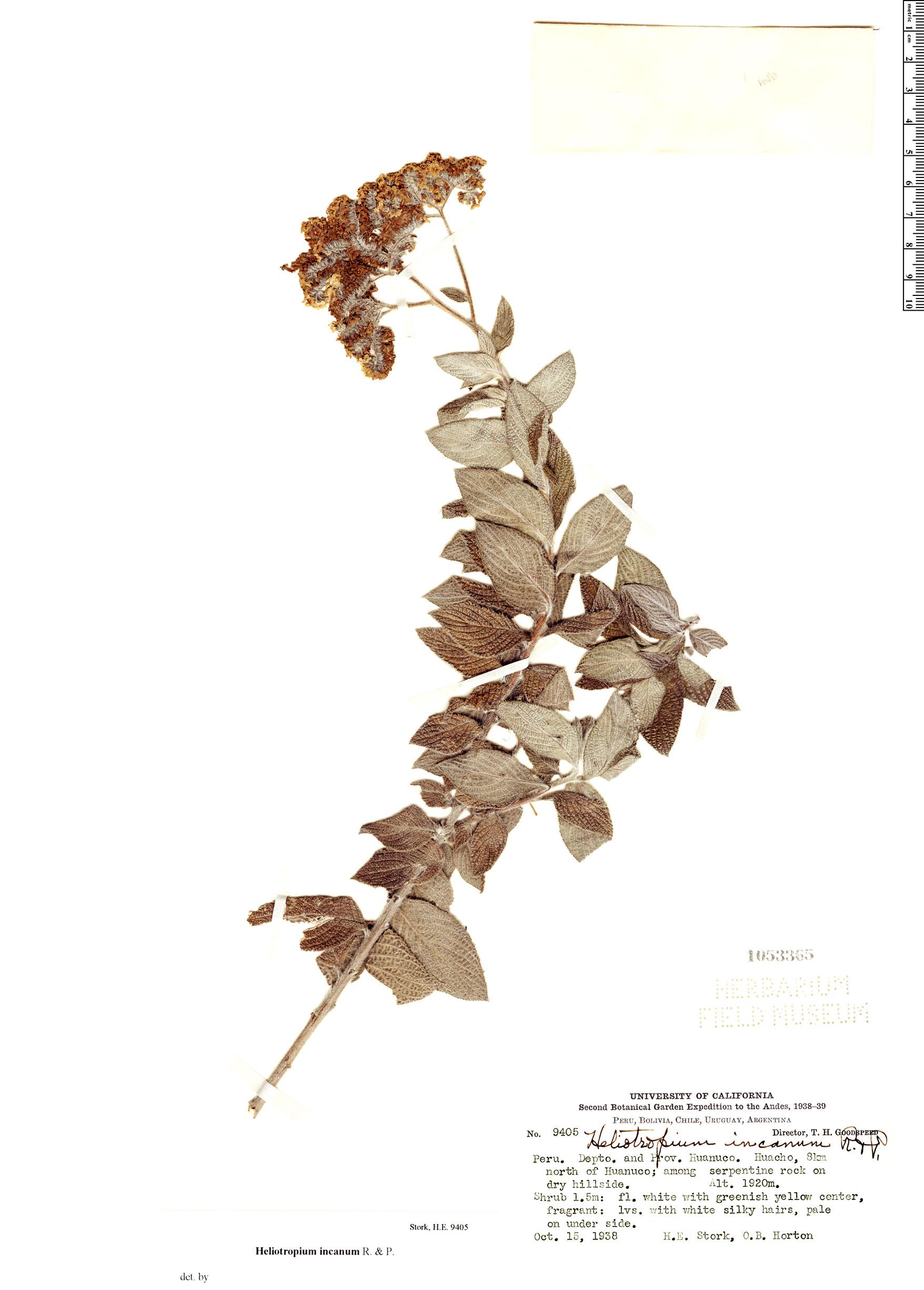 Specimen: Heliotropium incanum