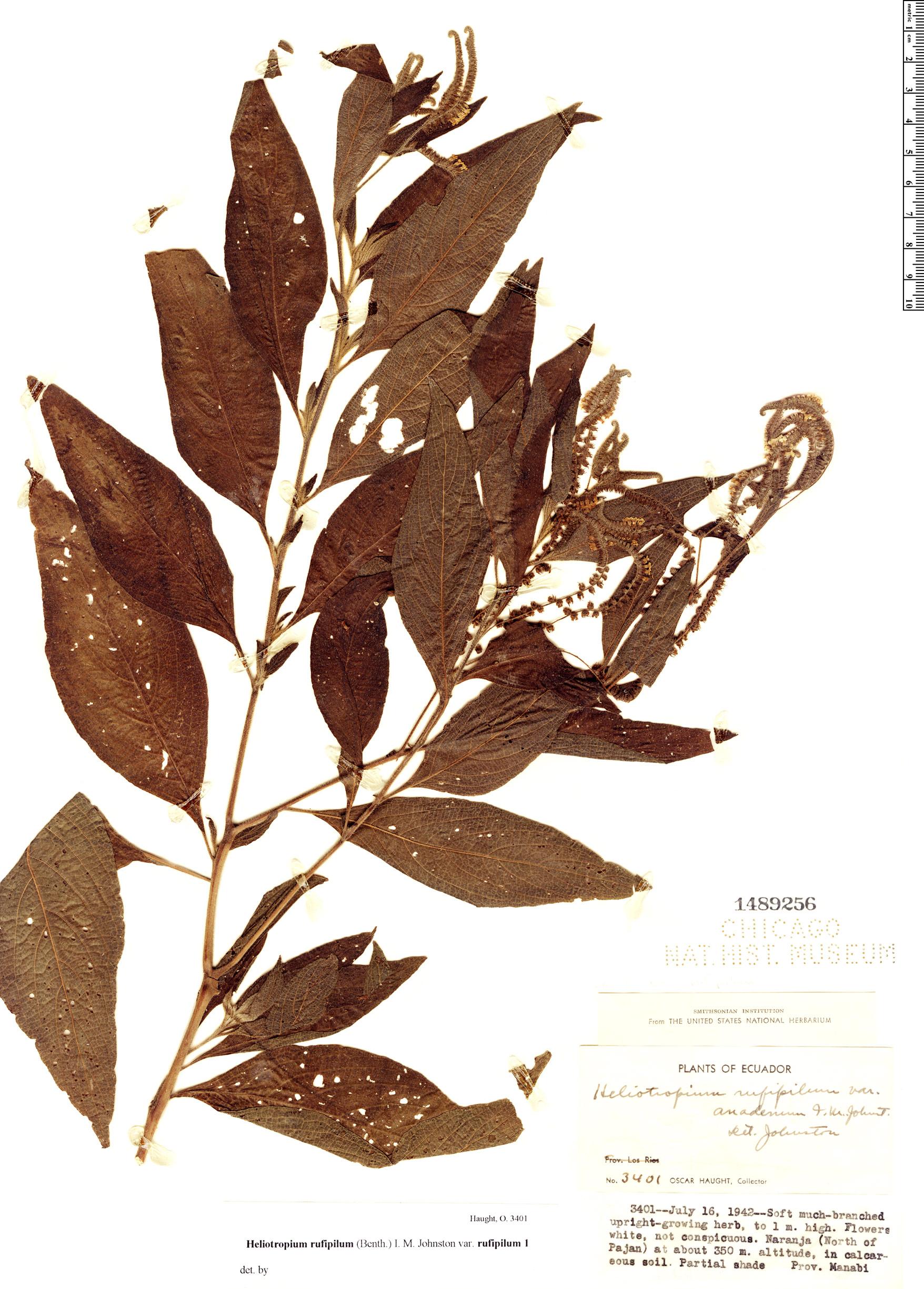 Specimen: Heliotropium rufipilum