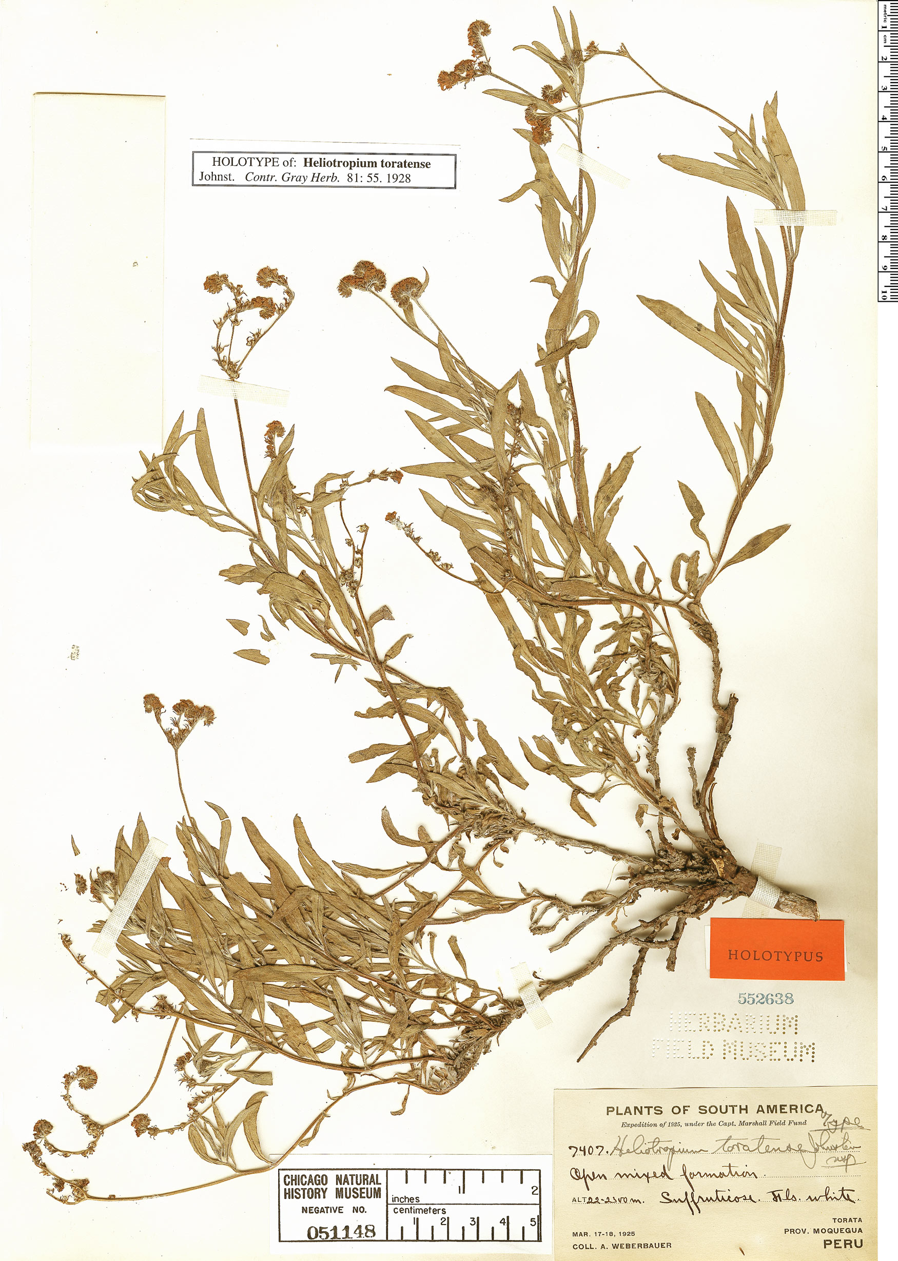 Specimen: Heliotropium toratense