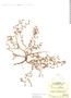 Tiquilia darwinii image