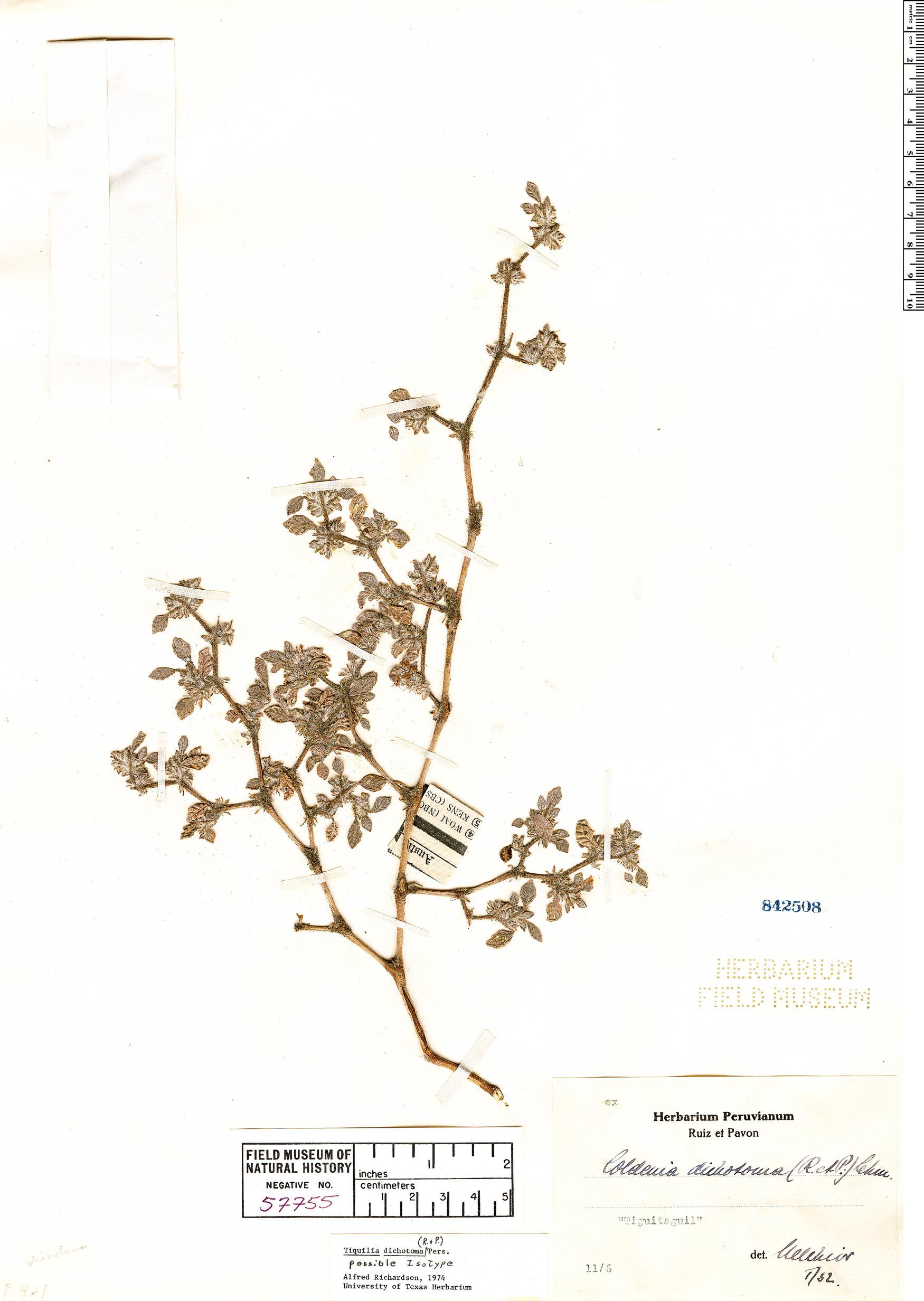 Specimen: Tiquilia dichotoma