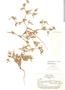 Tiquilia grandiflora image