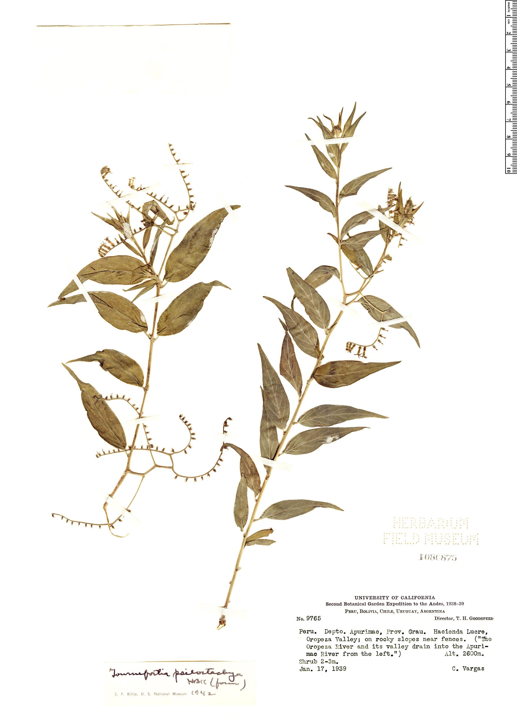 Specimen: Tournefortia psilostachya