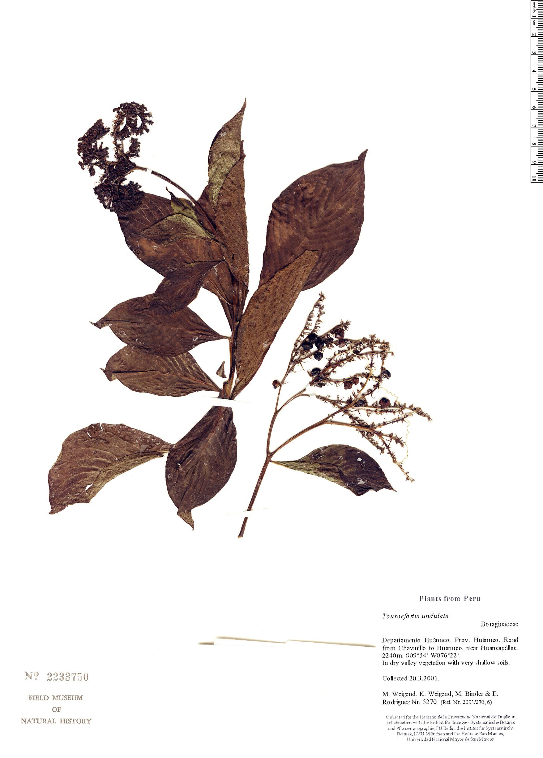 Specimen: Tournefortia undulata
