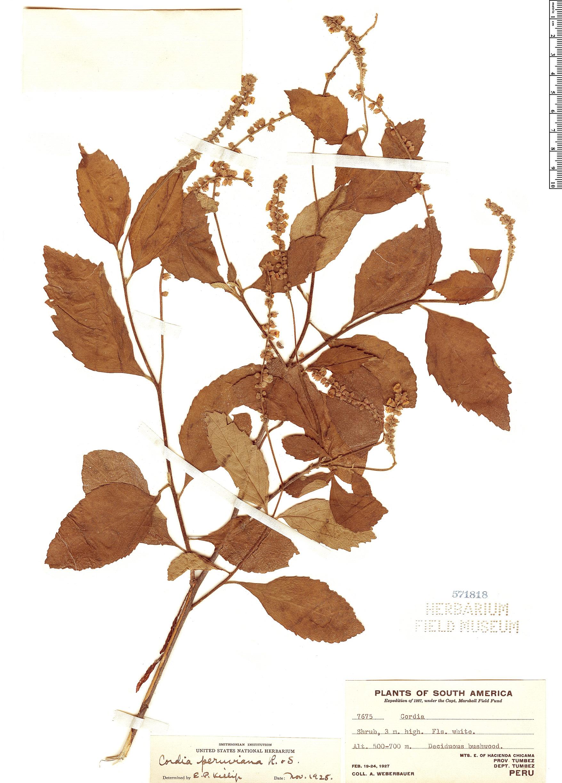 Specimen: Varronia peruviana