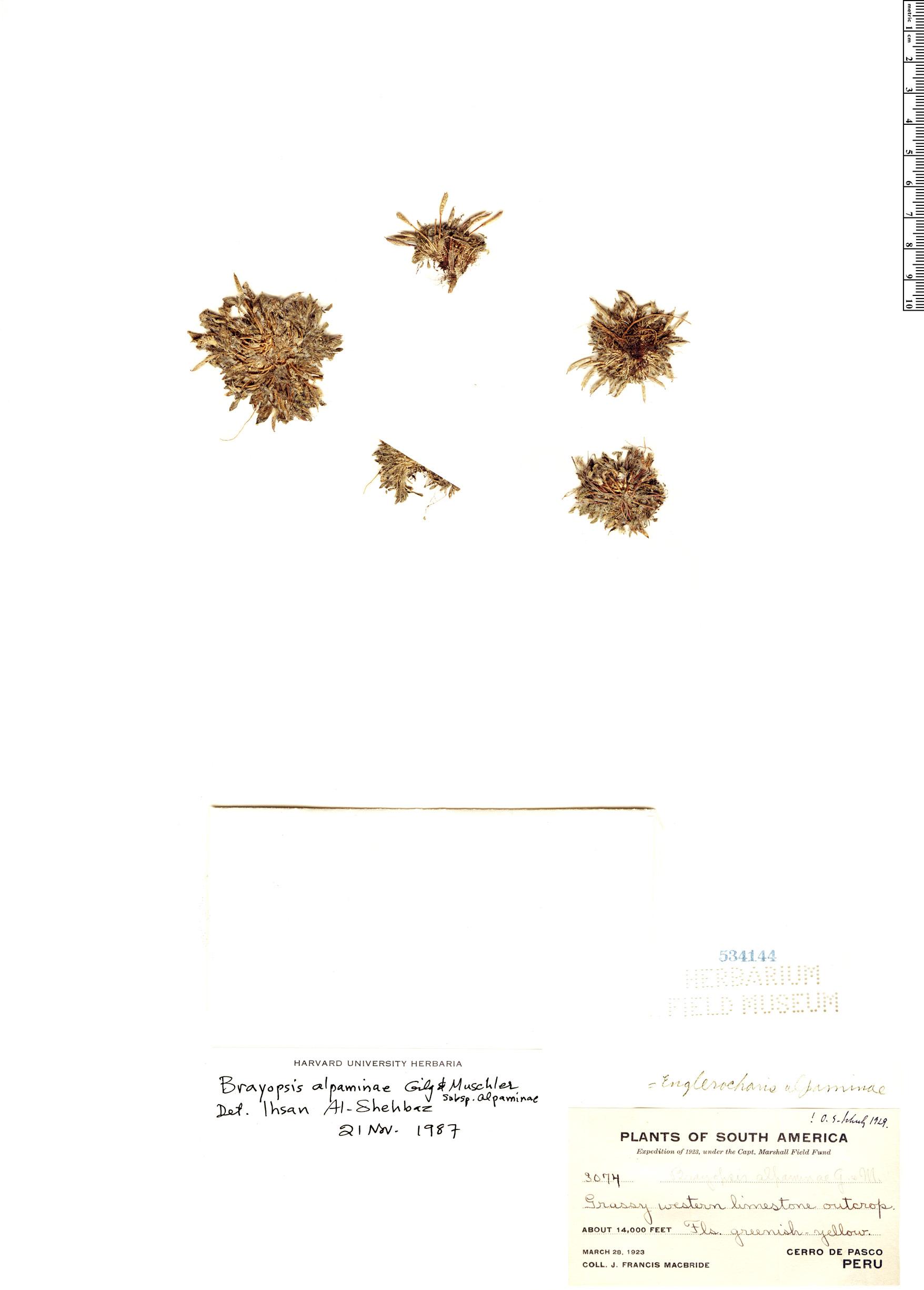 Espécime: Brayopsis alpaminae