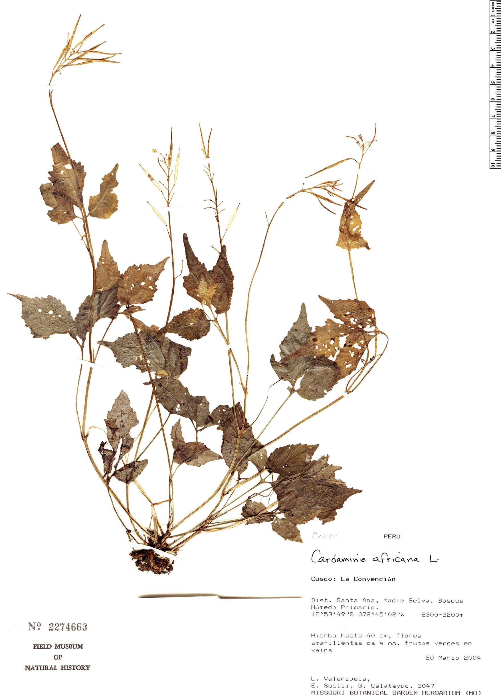 Espécime: Cardamine africana