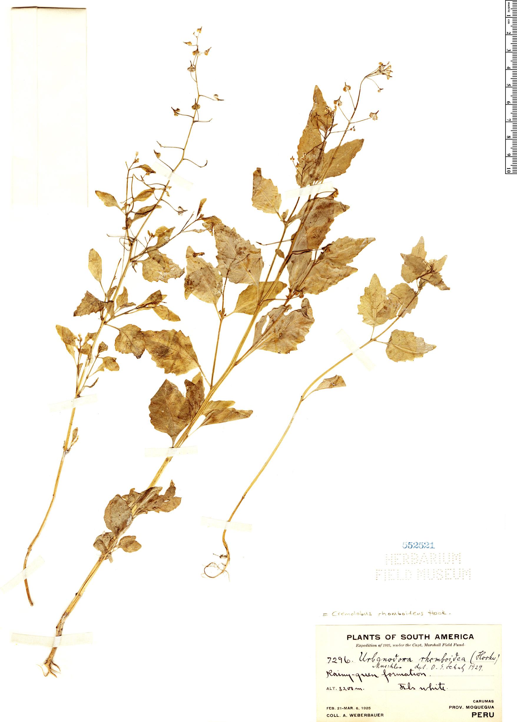 Specimen: Cremolobus rhomboideus