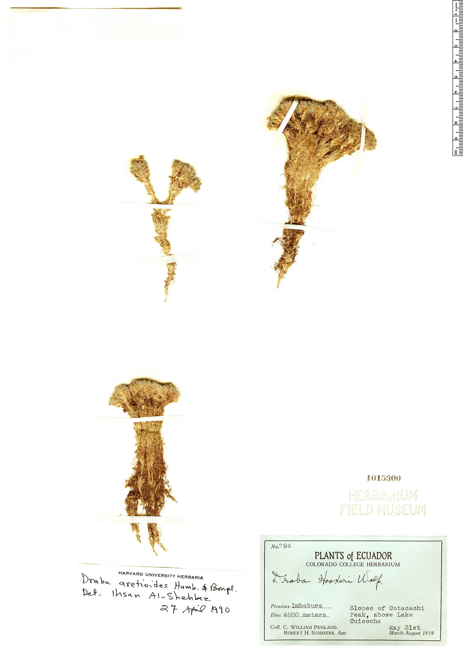 Espécimen: Draba aretioides