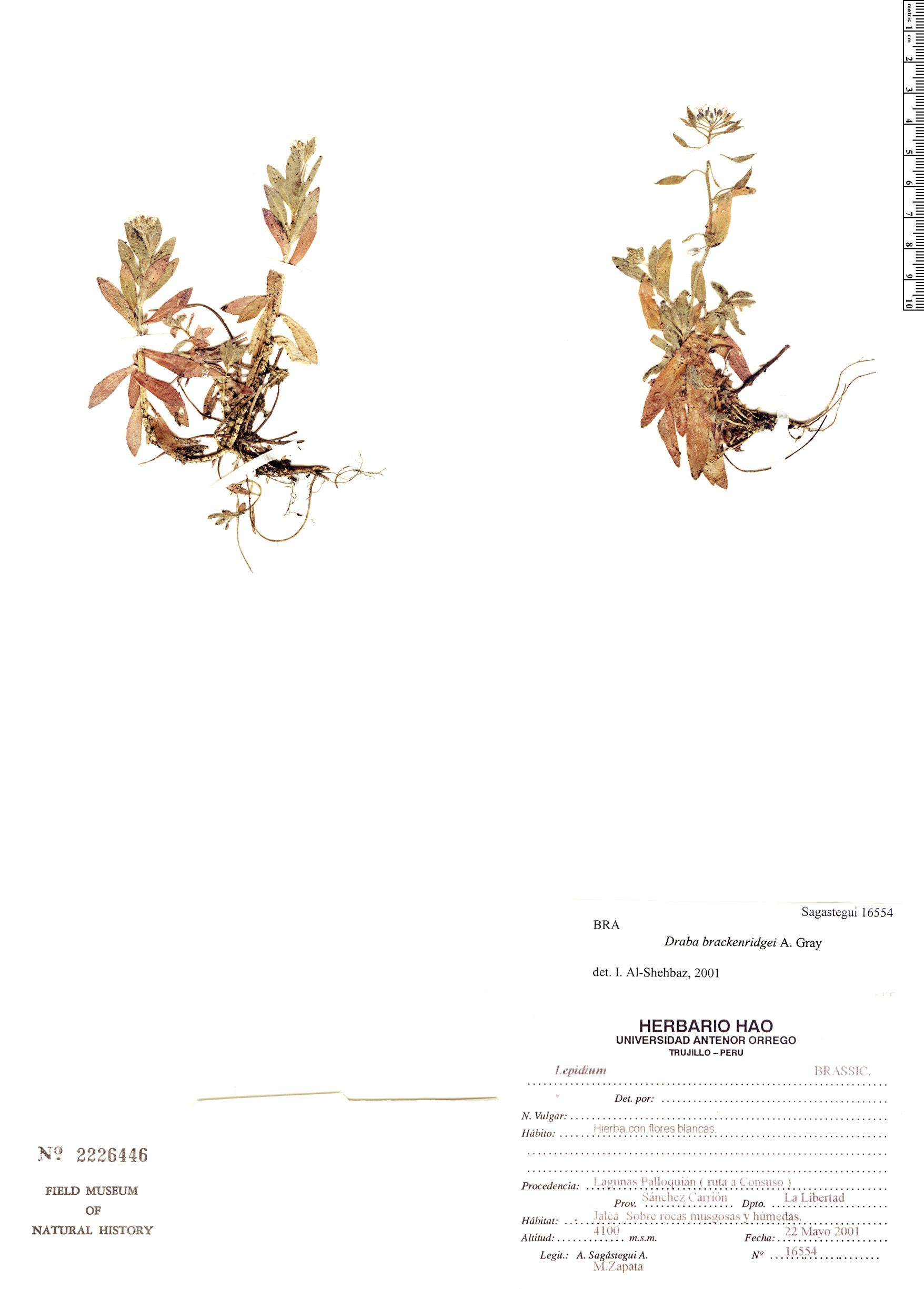 Specimen: Draba brackenridgei