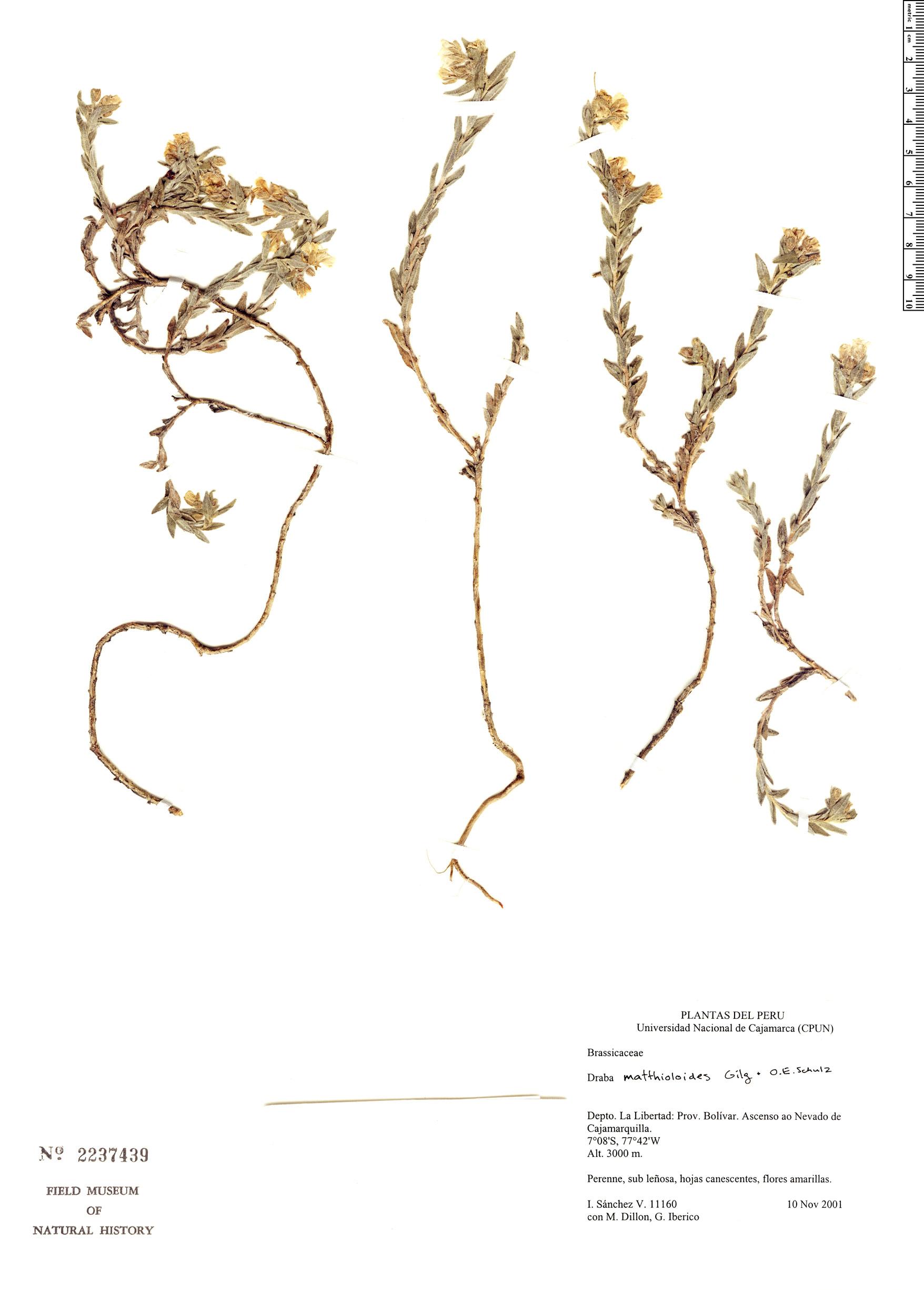 Specimen: Draba matthioloides