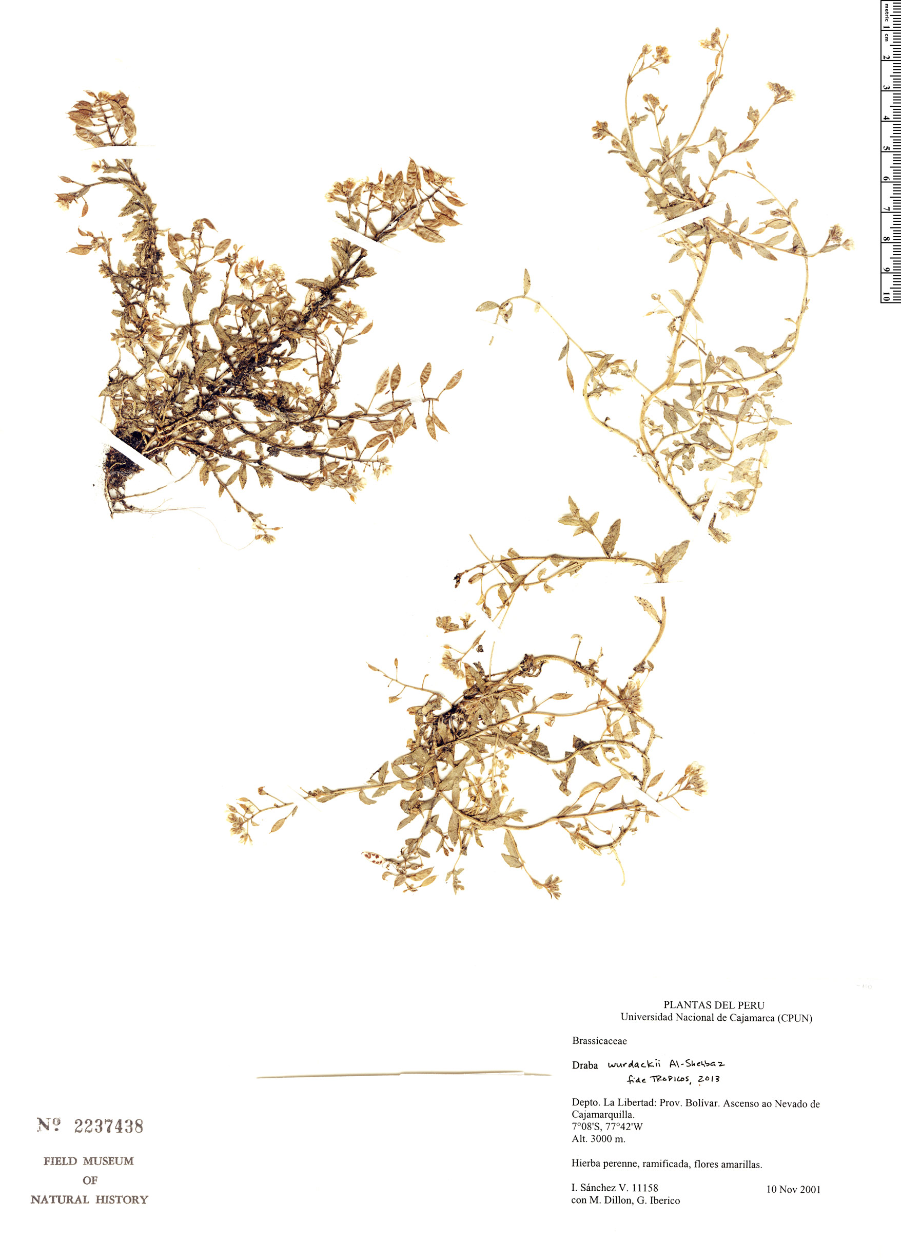 Espécimen: Draba wurdackii