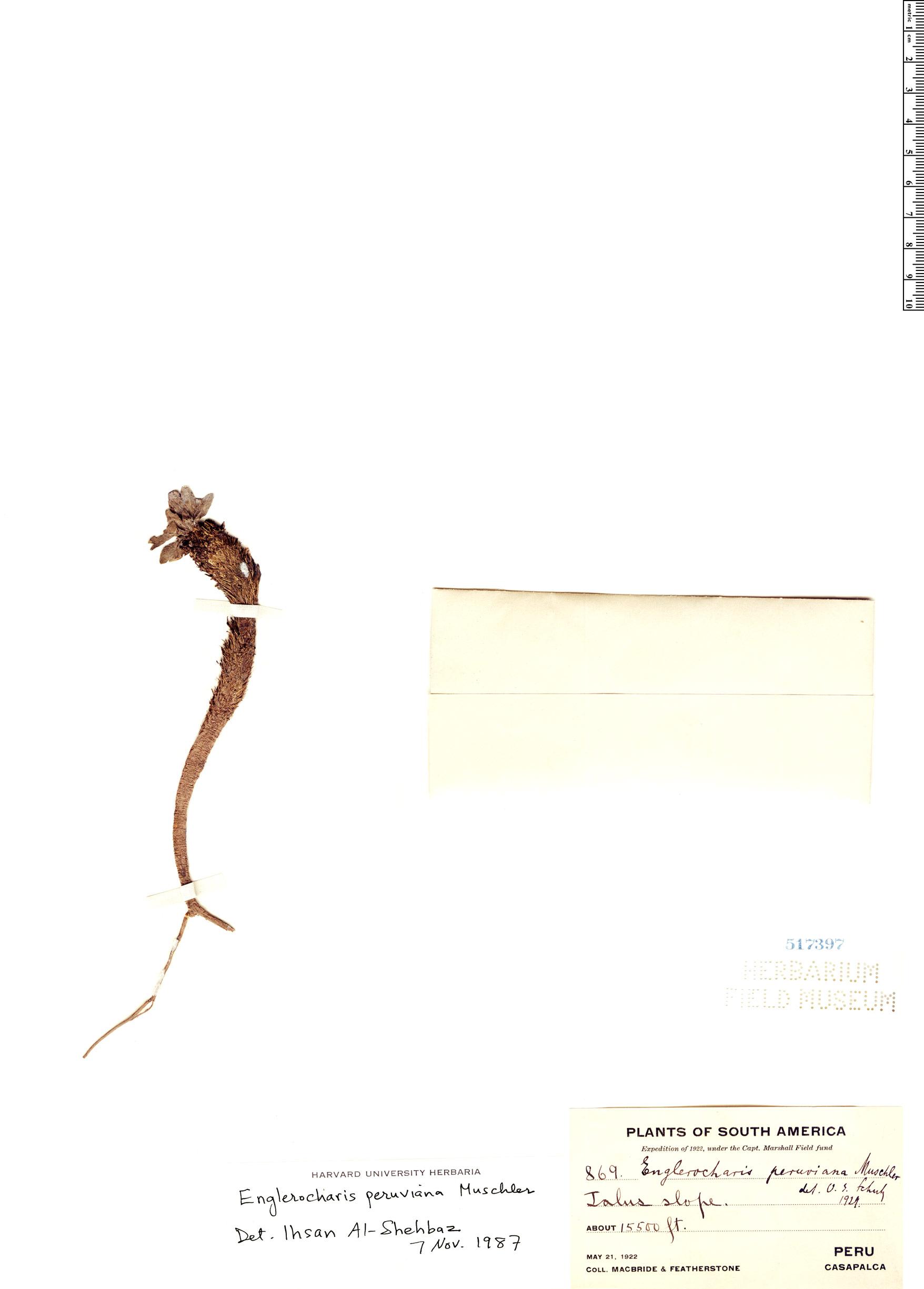 Specimen: Englerocharis peruviana