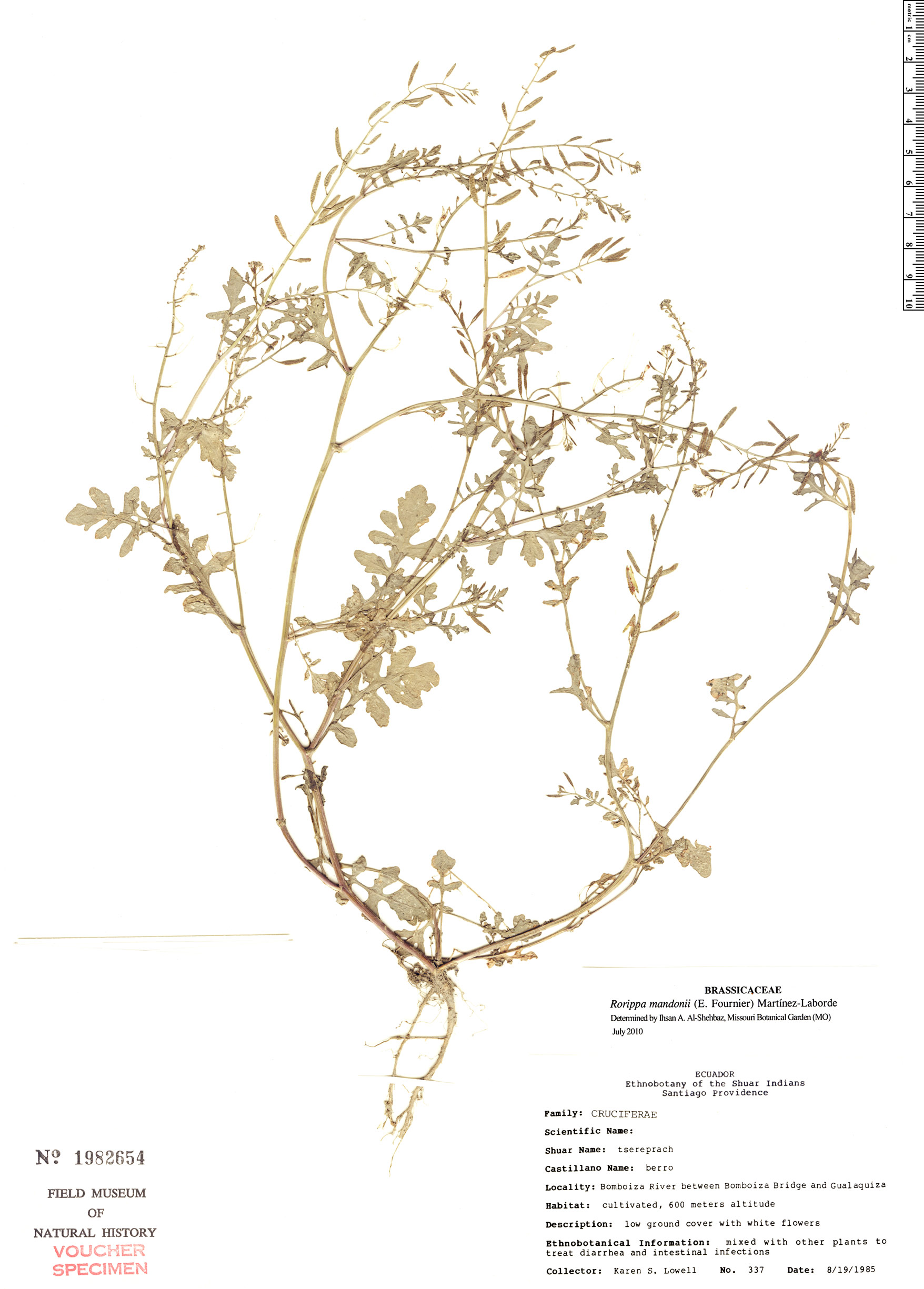Espécimen: Rorippa mandonii