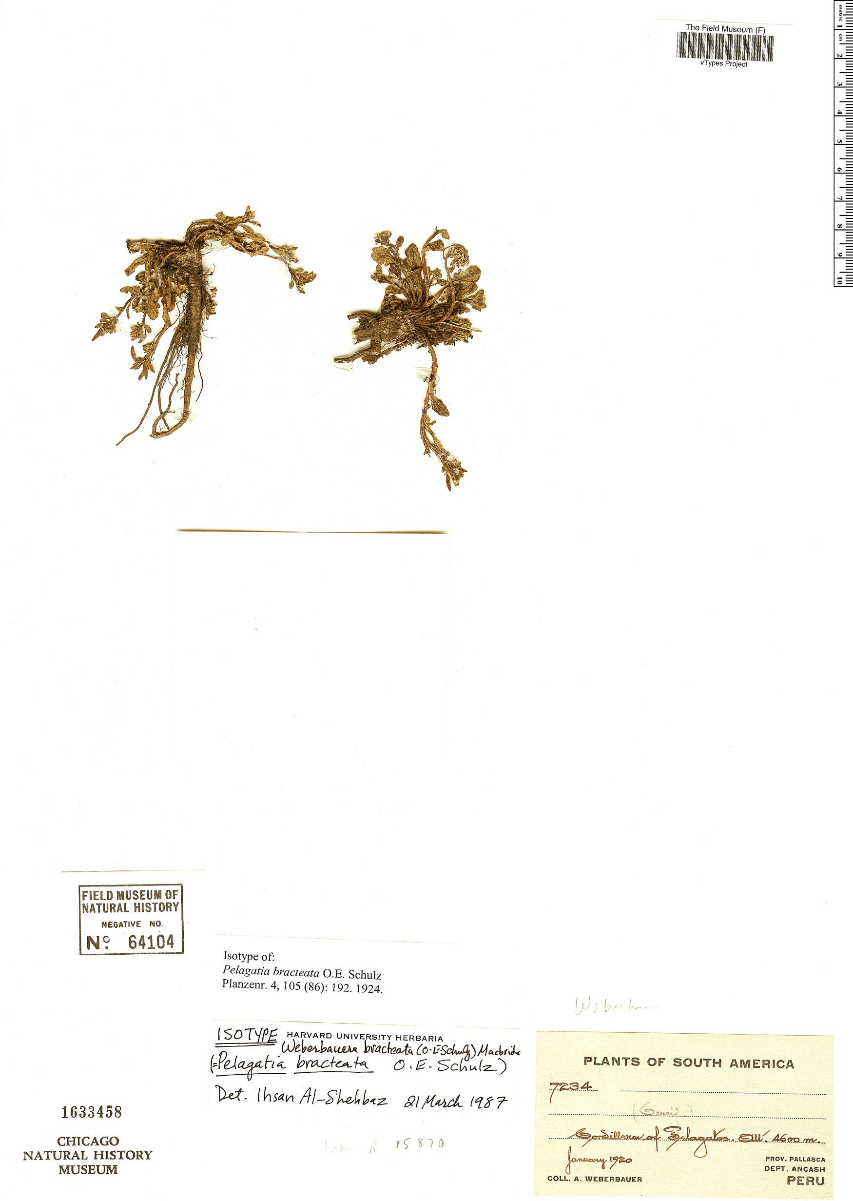 Specimen: Weberbauera bracteata