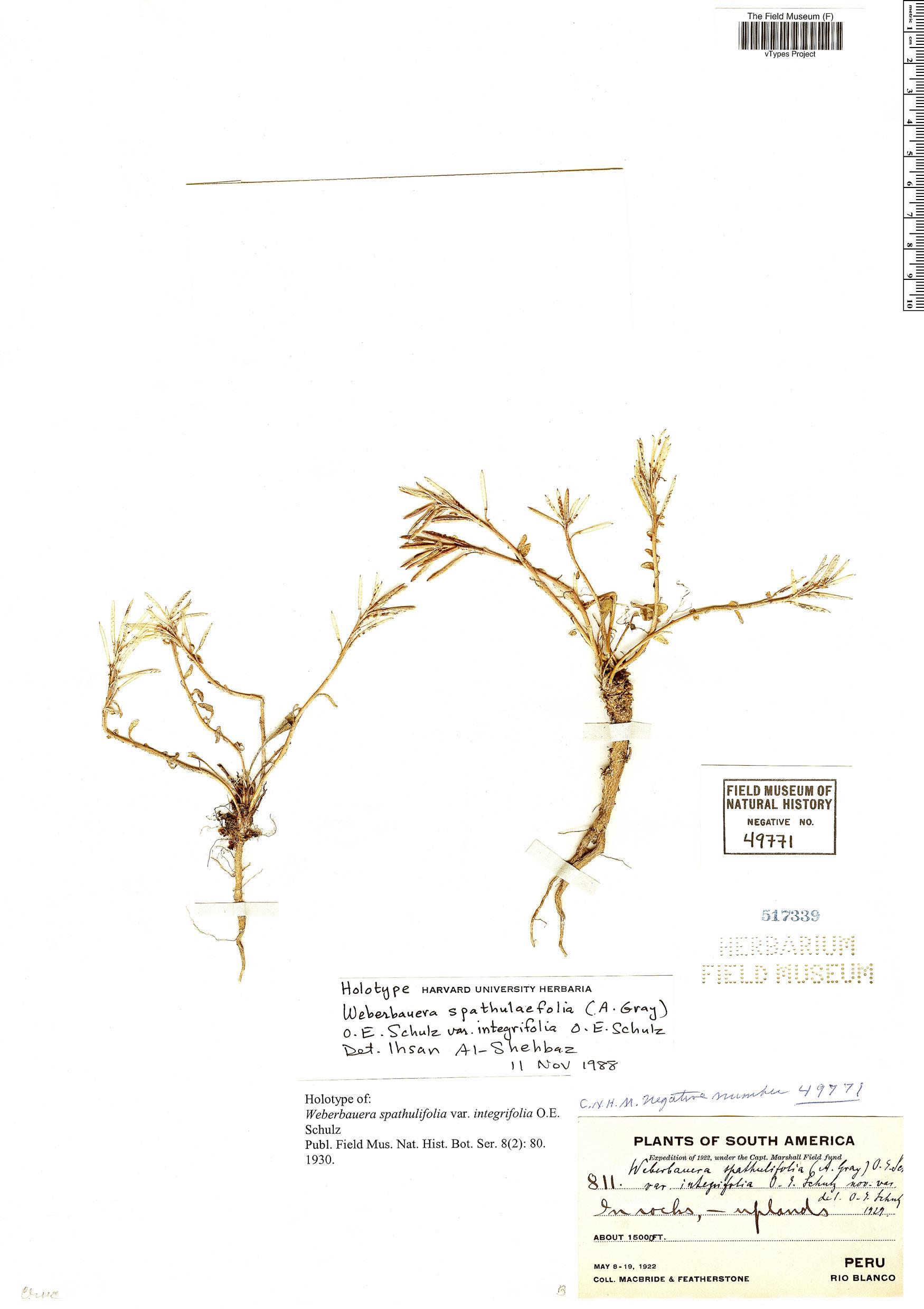Specimen: Weberbauera spathulifolia