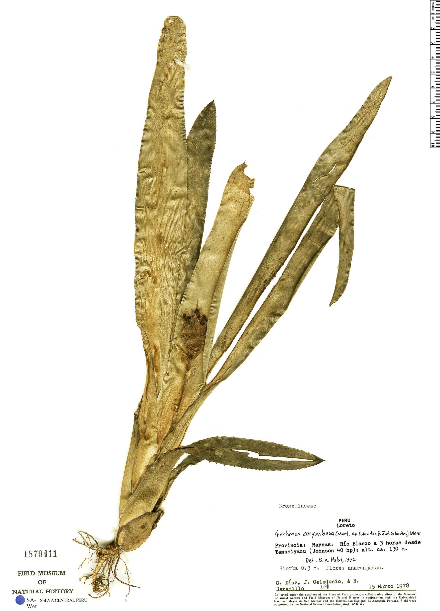 Specimen: Aechmea corymbosa