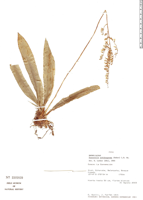 Specimen: Fosterella schidosperma