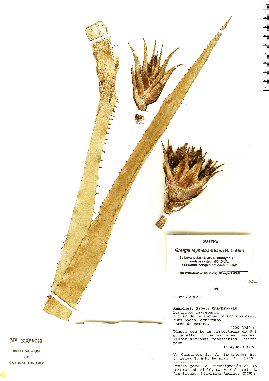 Espécimen: Greigia leymebambana