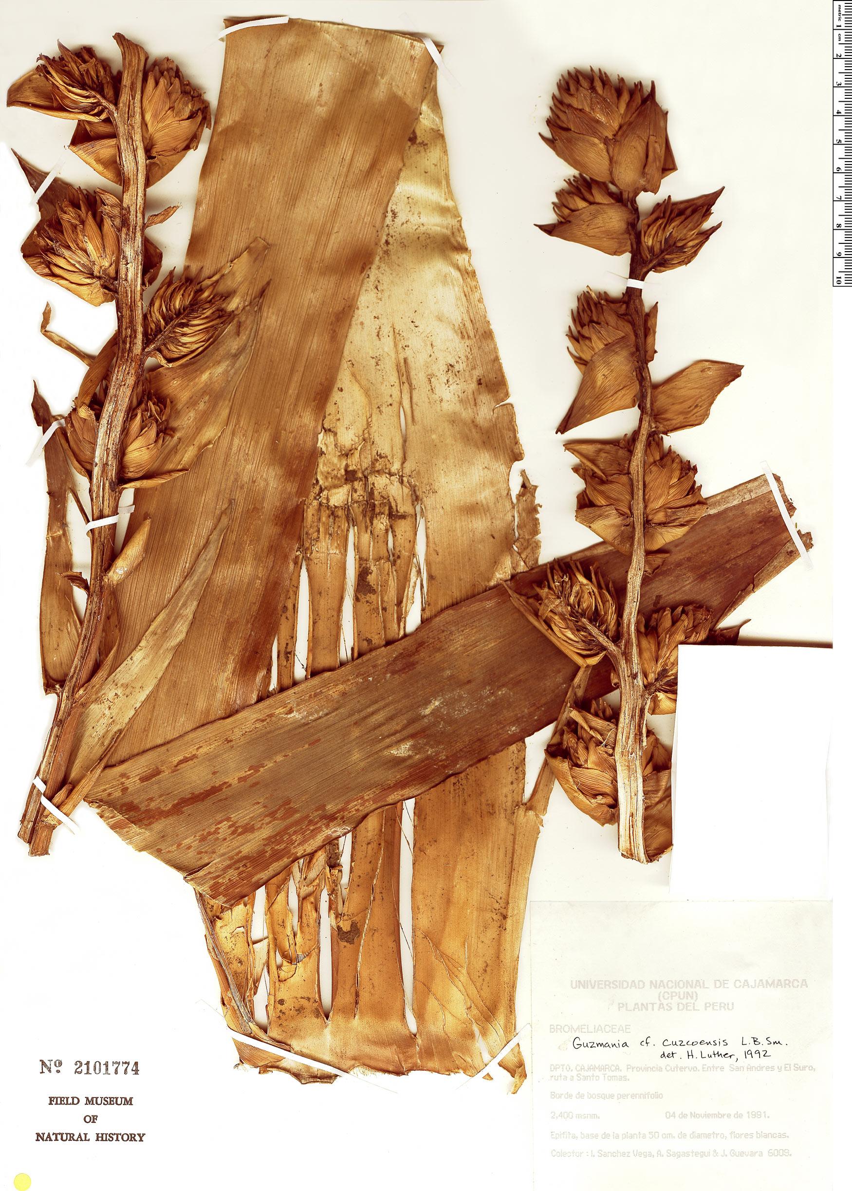 Specimen: Guzmania cuzcoensis