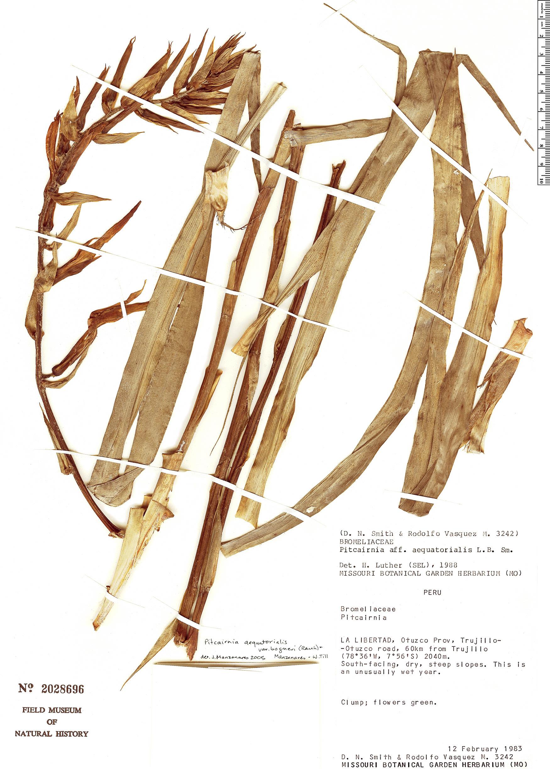 Specimen: Pitcairnia aequatorialis