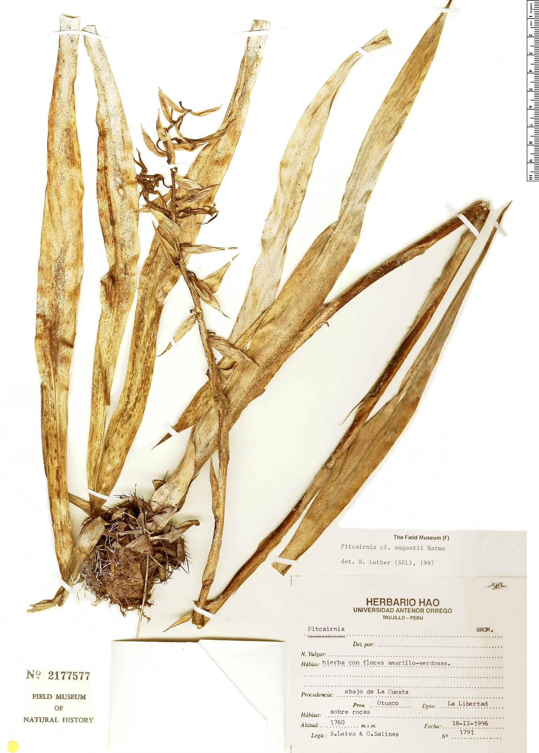 Specimen: Pitcairnia augustii