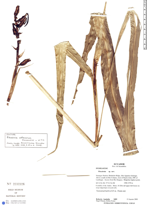 Specimen: Pitcairnia cofanorum