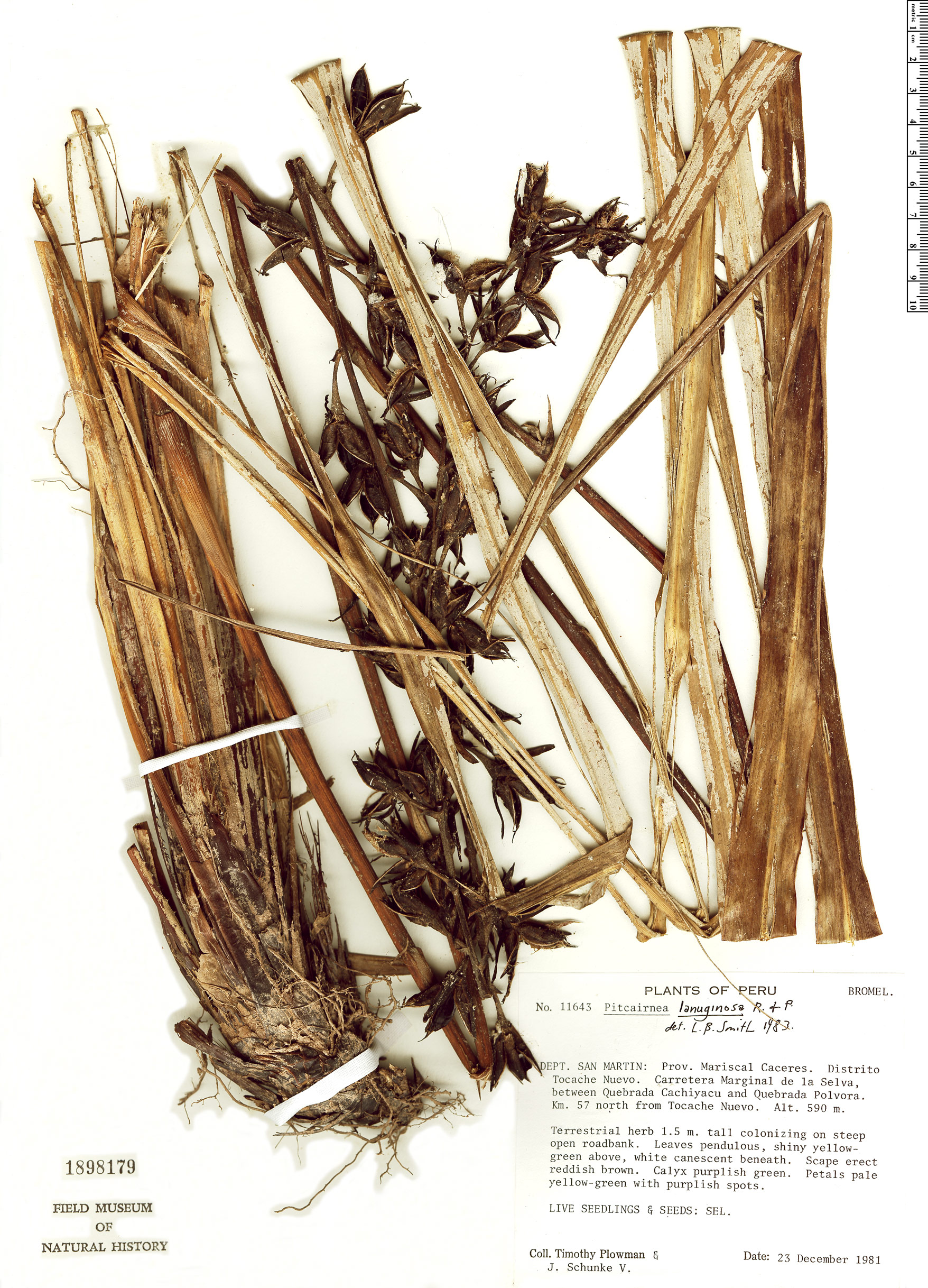 Specimen: Pitcairnia lanuginosa