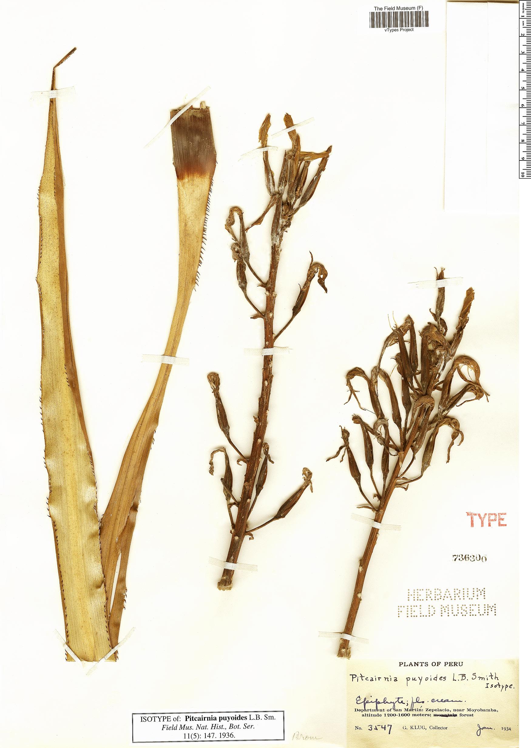 Specimen: Pitcairnia puyoides