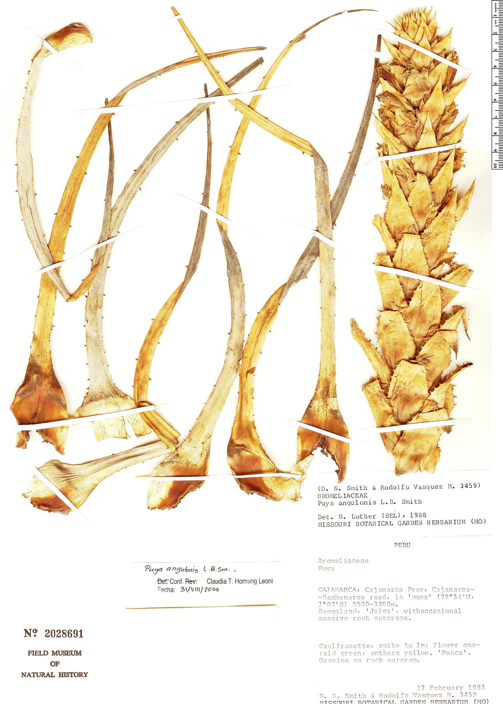 Specimen: Puya angulonis