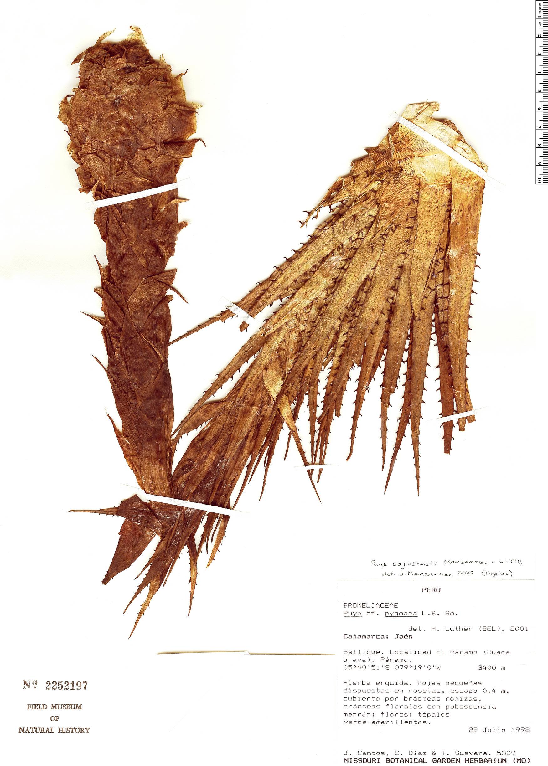 Specimen: Puya cajasensis