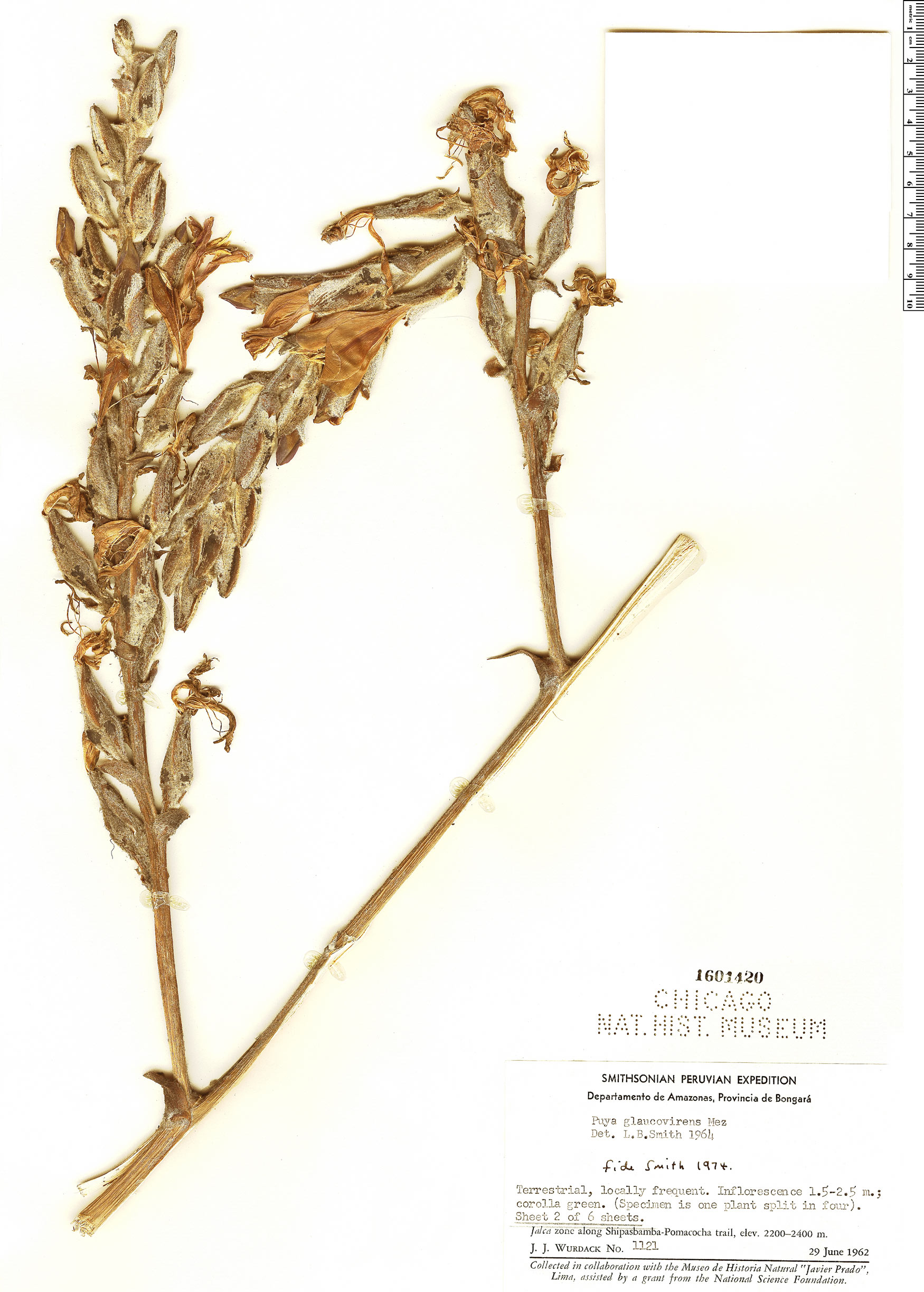 Specimen: Puya glaucovirens
