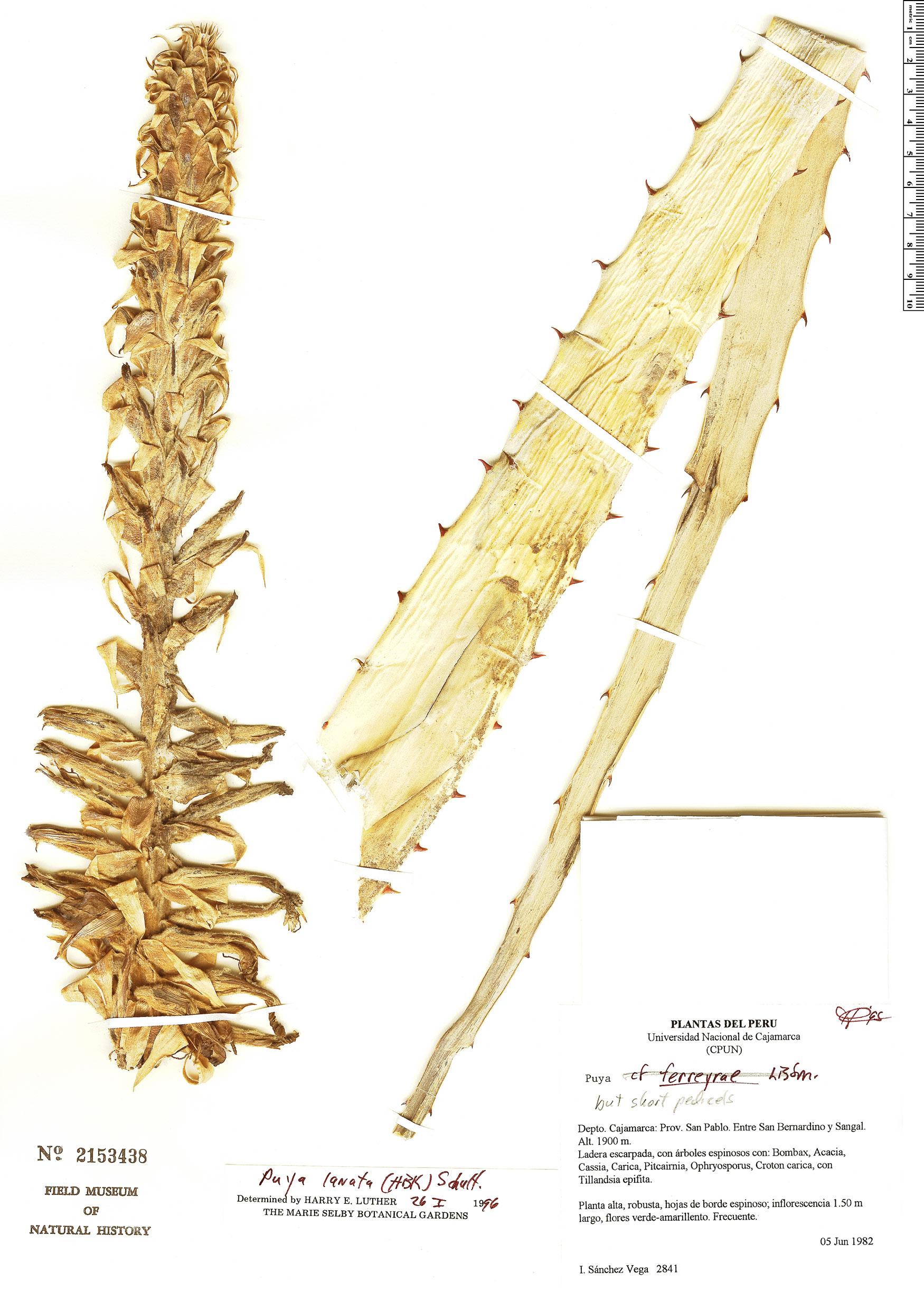 Specimen: Puya lanata