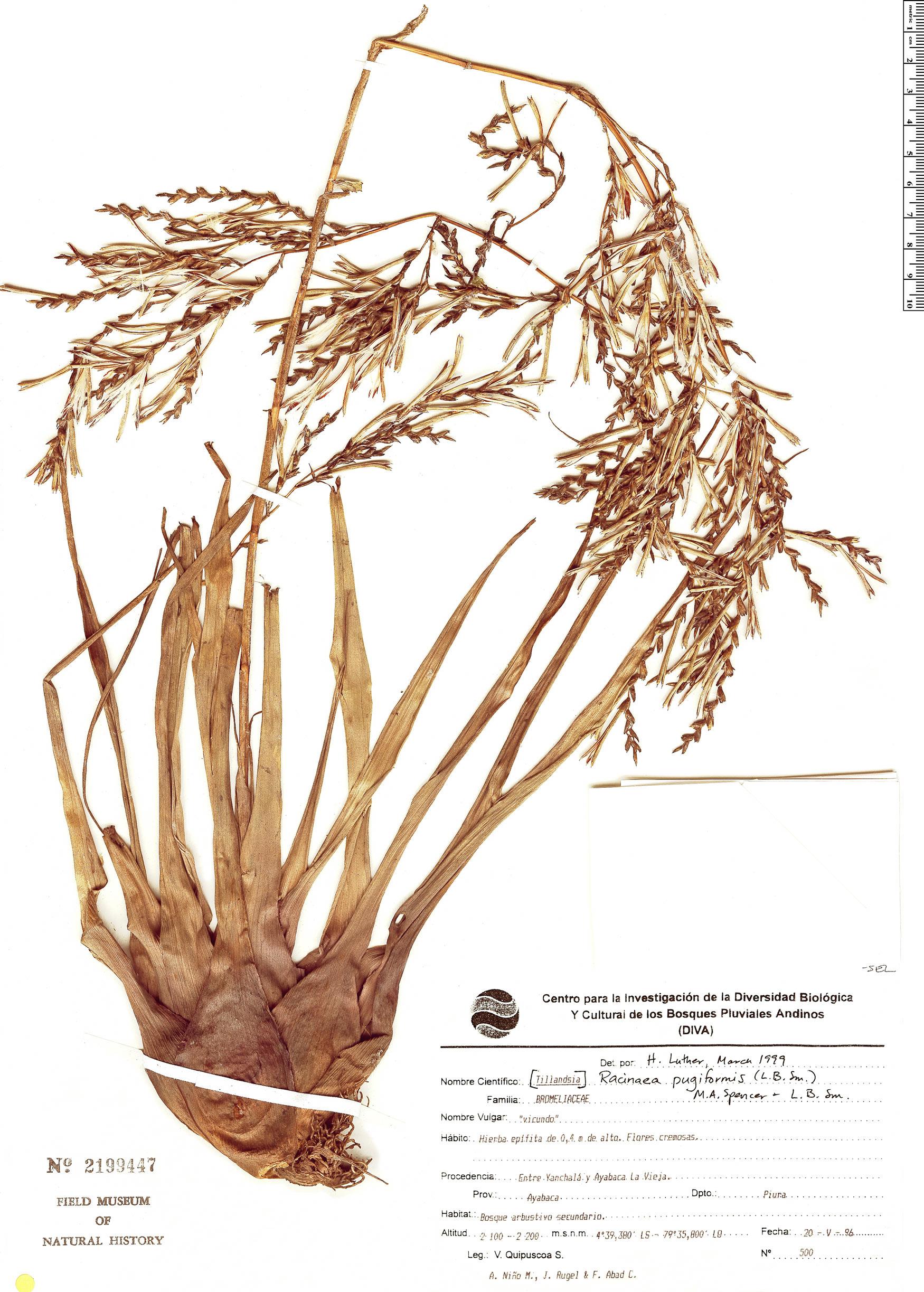 Specimen: Racinaea pugiformis