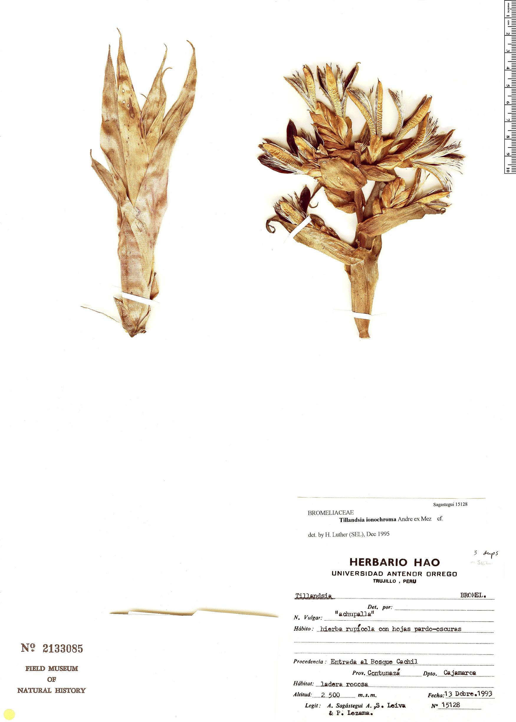 Specimen: Tillandsia ionochroma