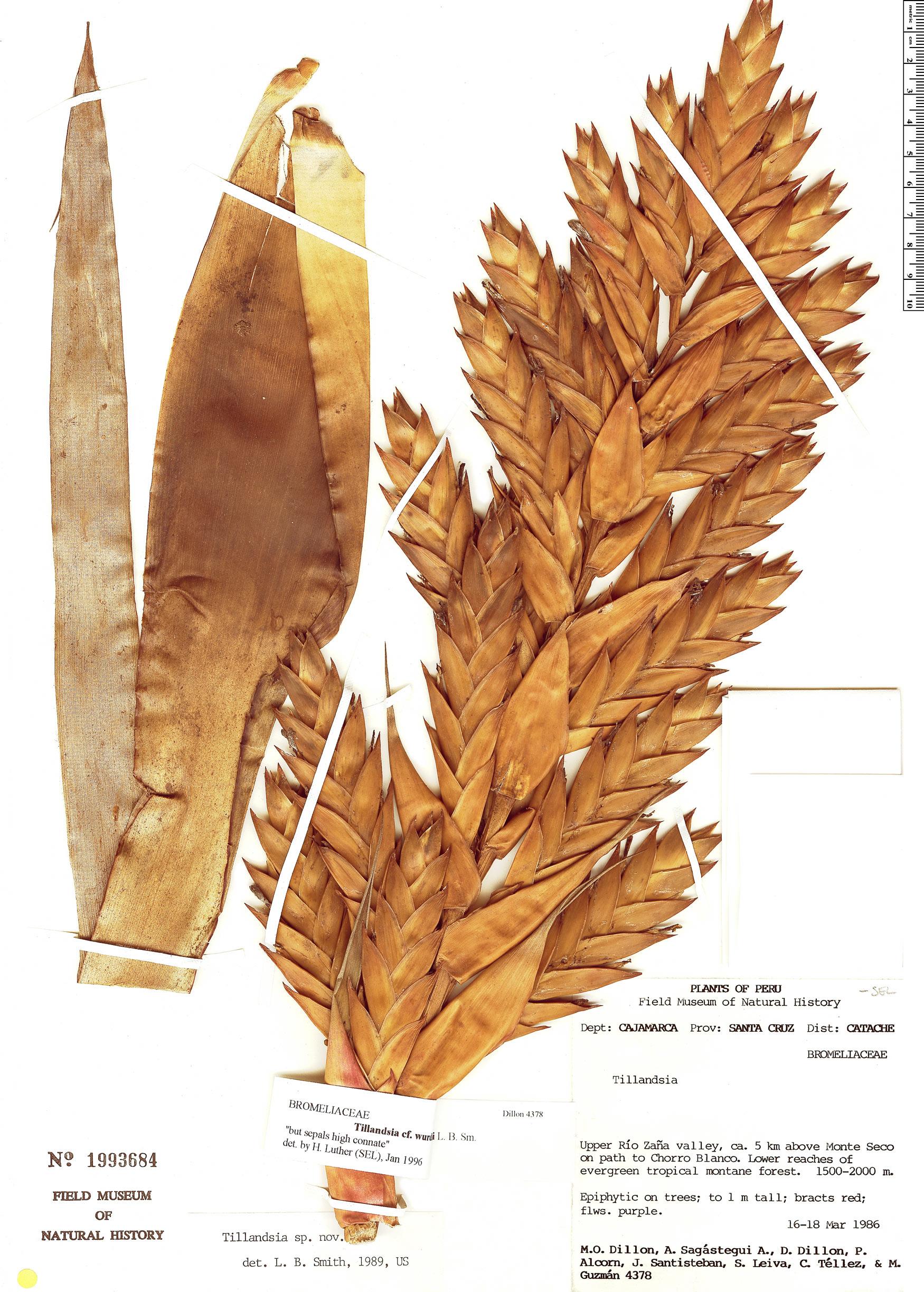 Specimen: Tillandsia wurdackii