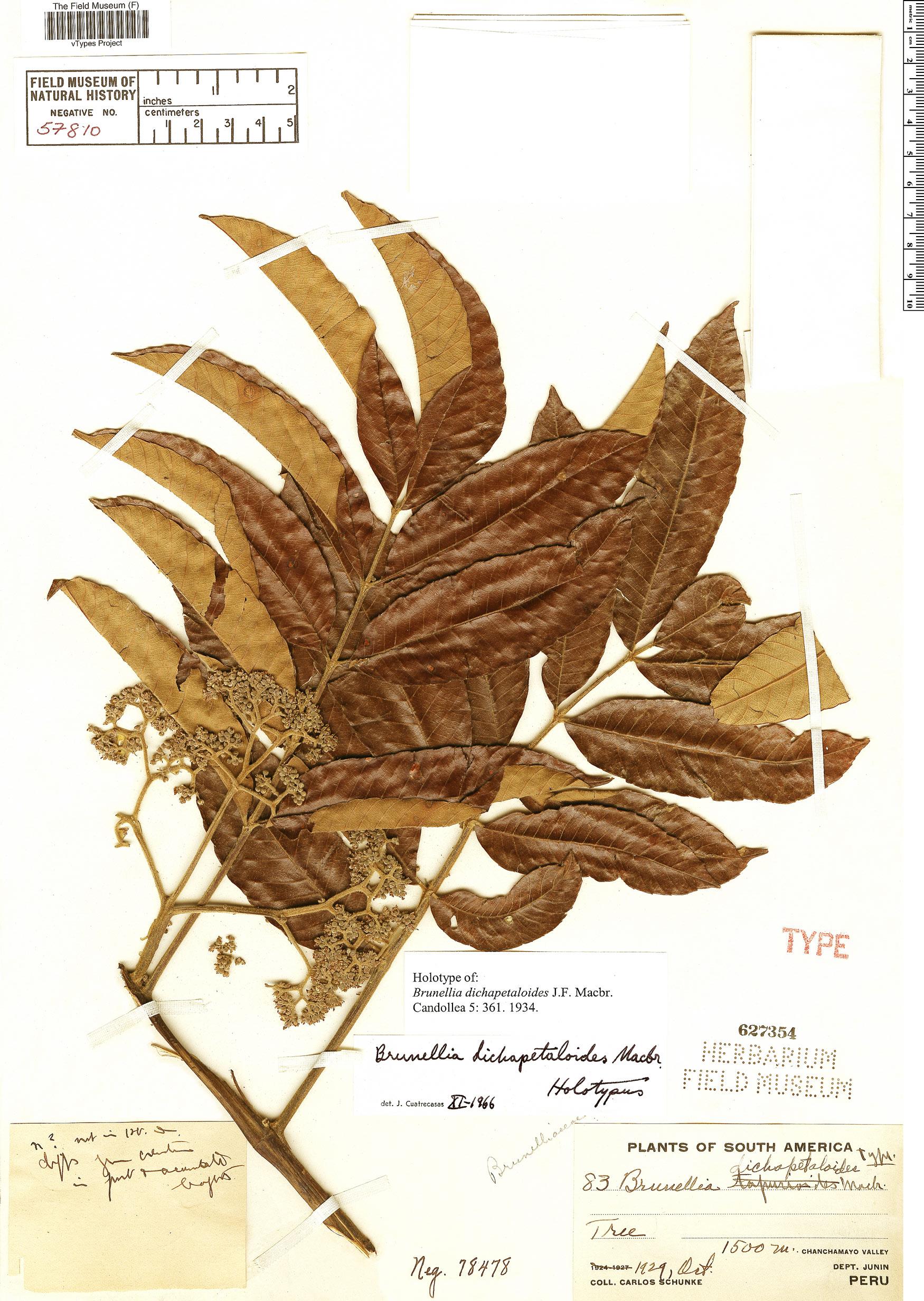 Specimen: Brunellia dichapetaloides