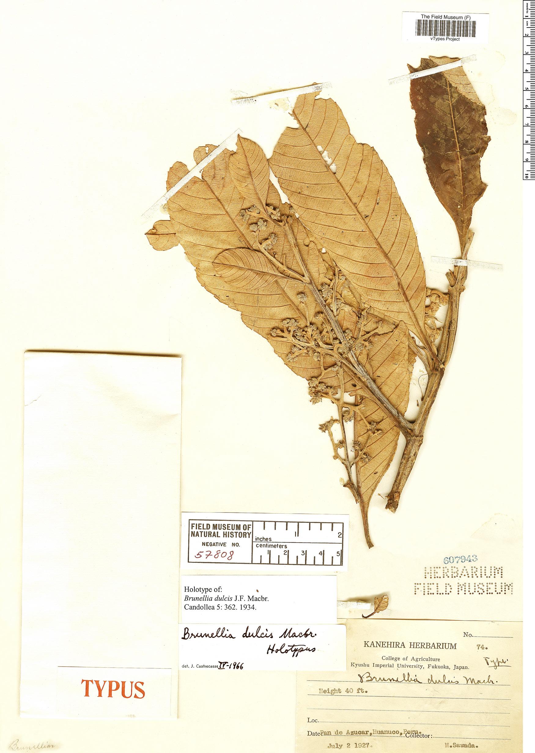 Specimen: Brunellia dulcis
