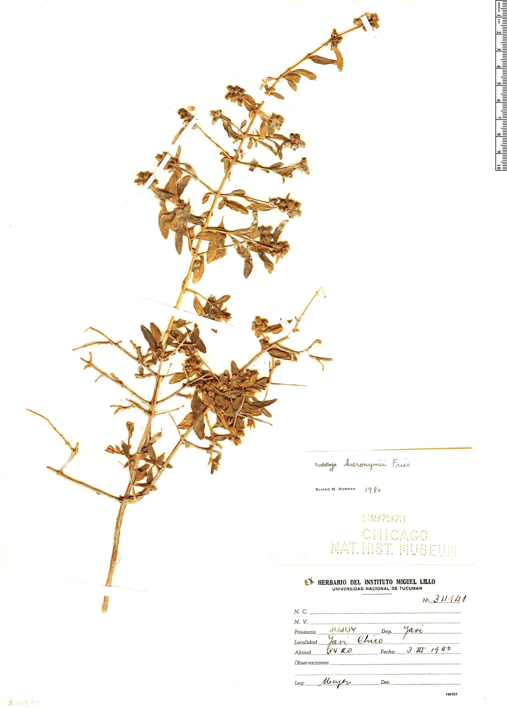 Specimen: Buddleja hieronymi