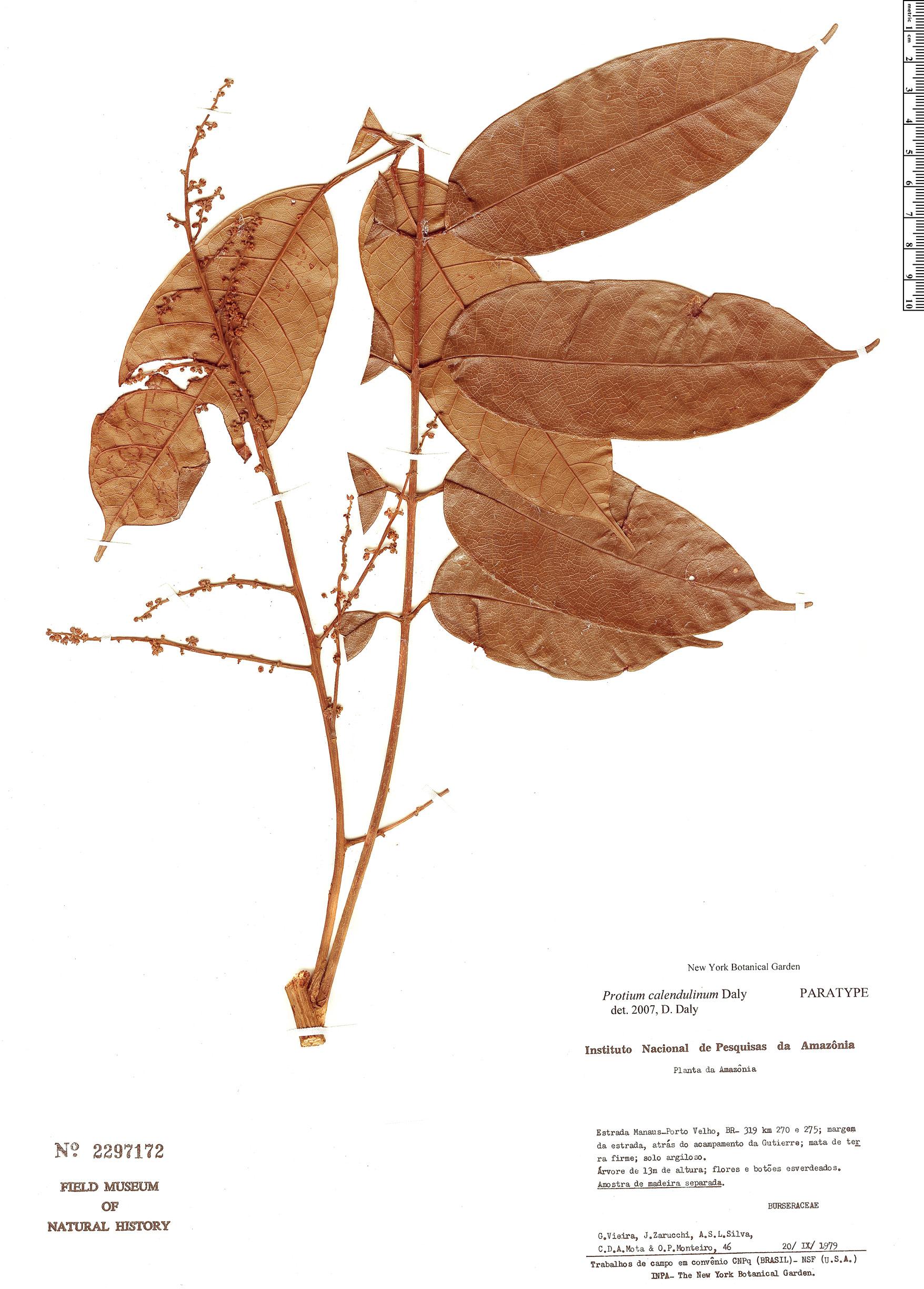 Specimen: Protium calendulinum