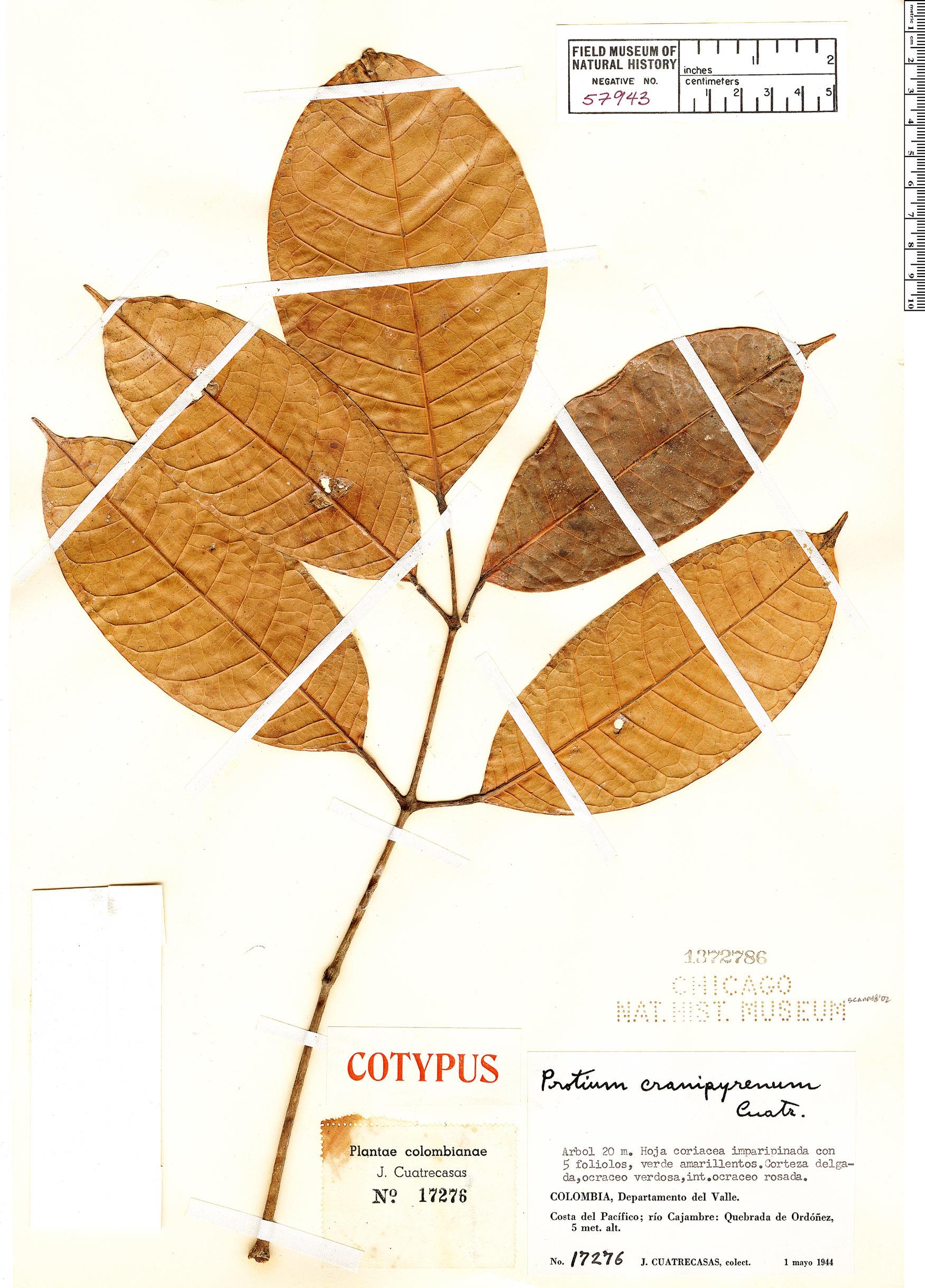 Specimen: Protium cranipyrenum