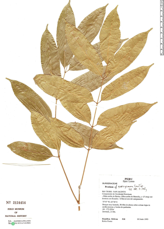 Specimen: Protium guacayanum