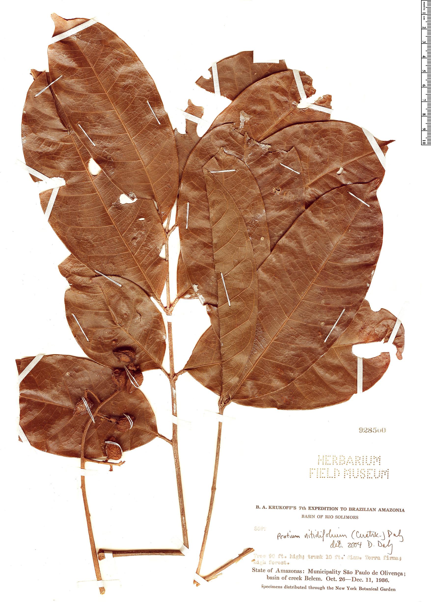 Specimen: Protium nitidifolium