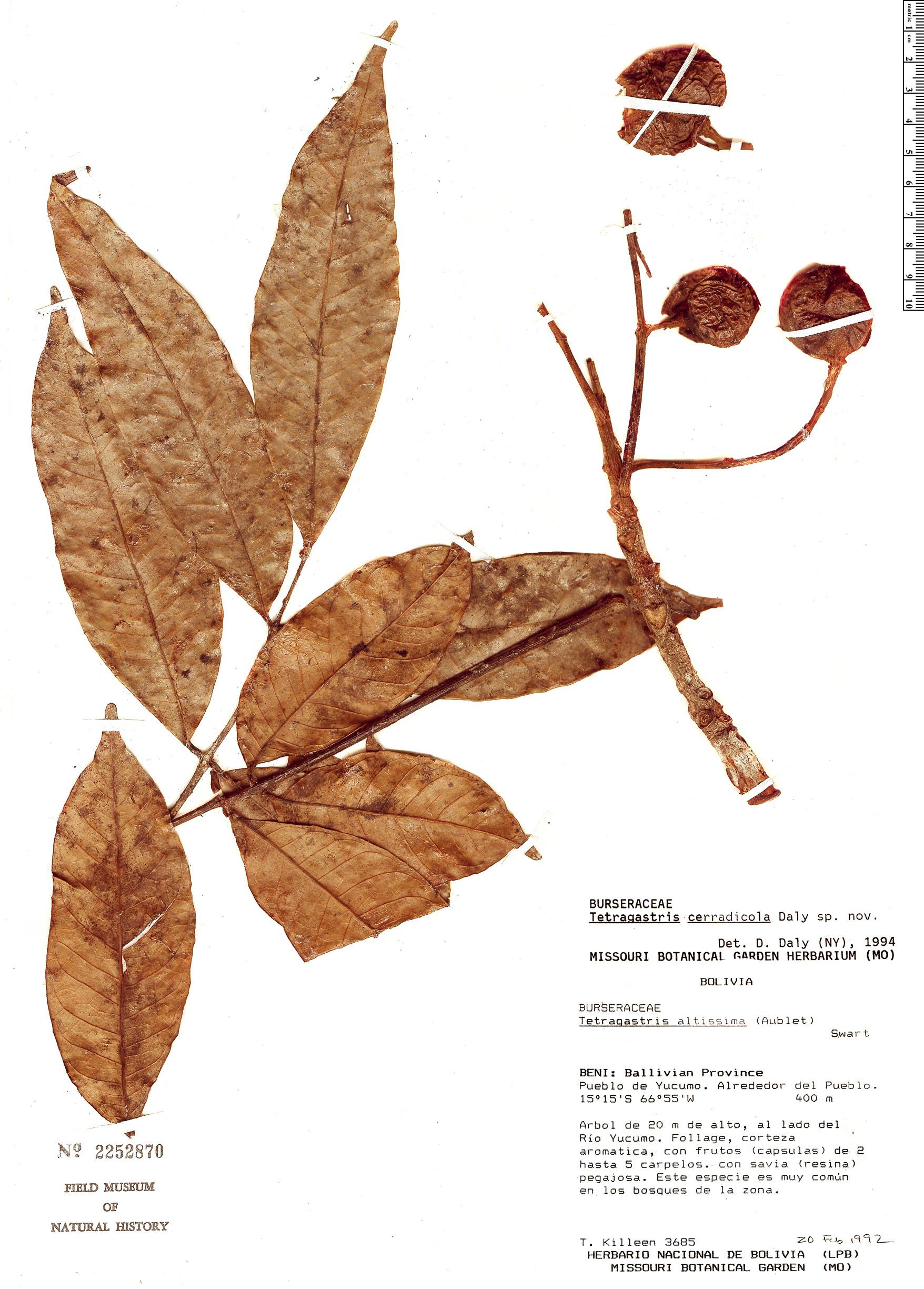 Specimen: Tetragastris cerradicola