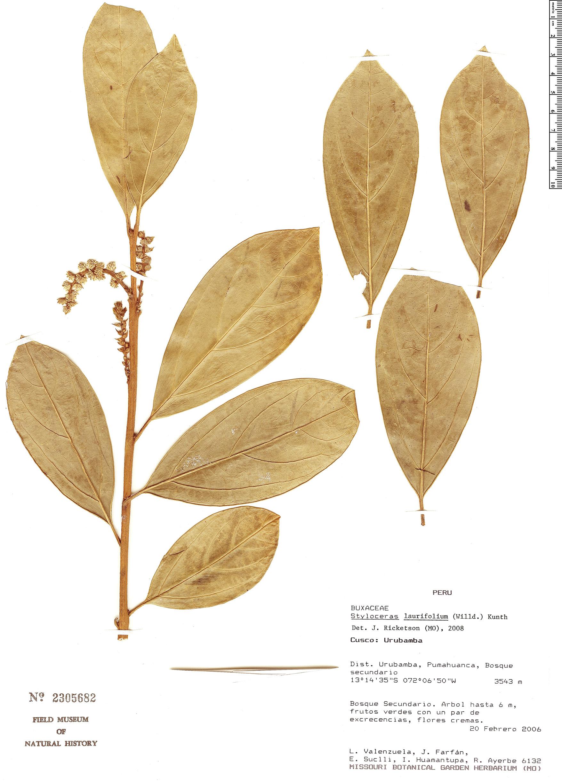 Specimen: Styloceras laurifolium