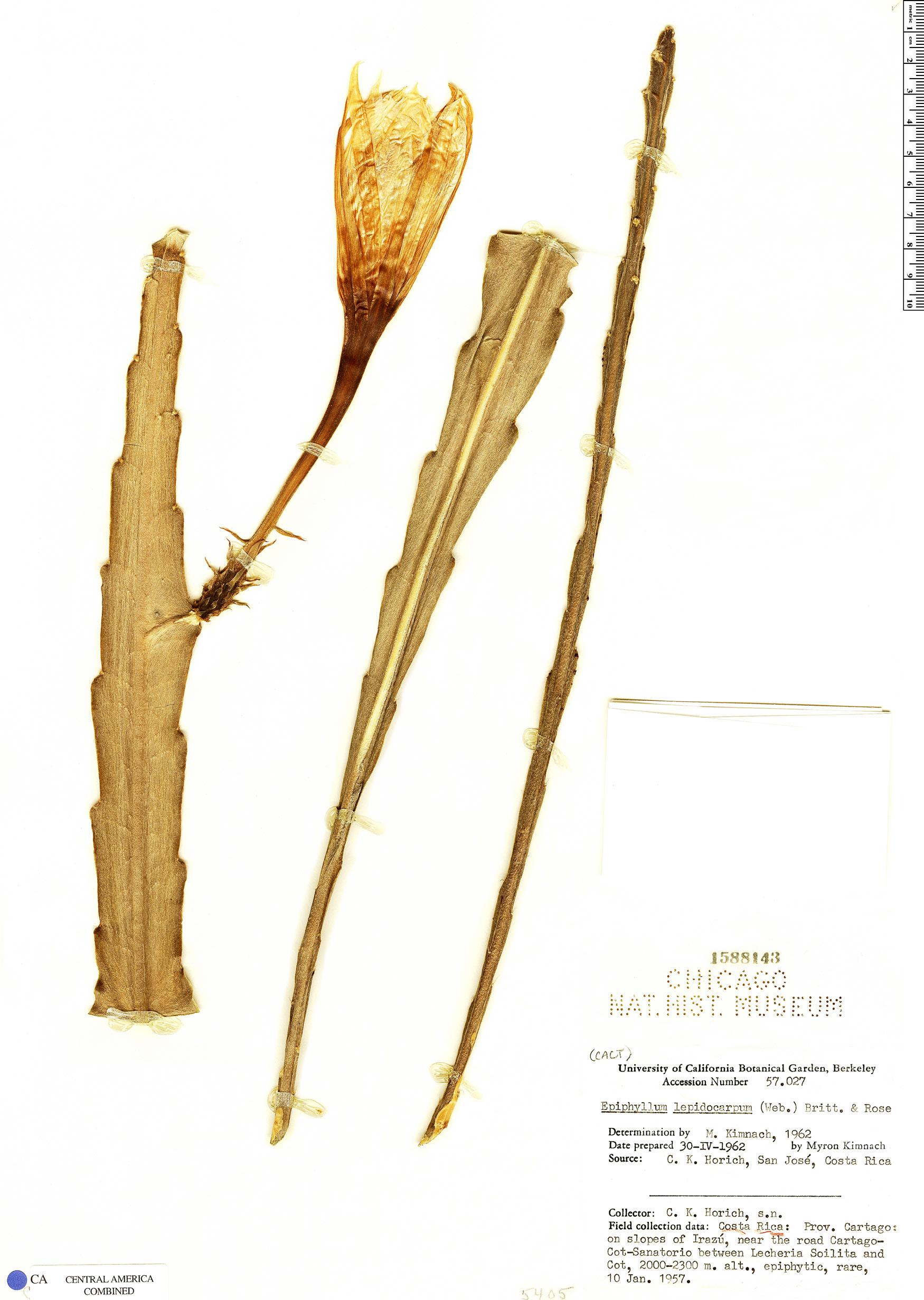 Epiphyllum lepidocarpum image